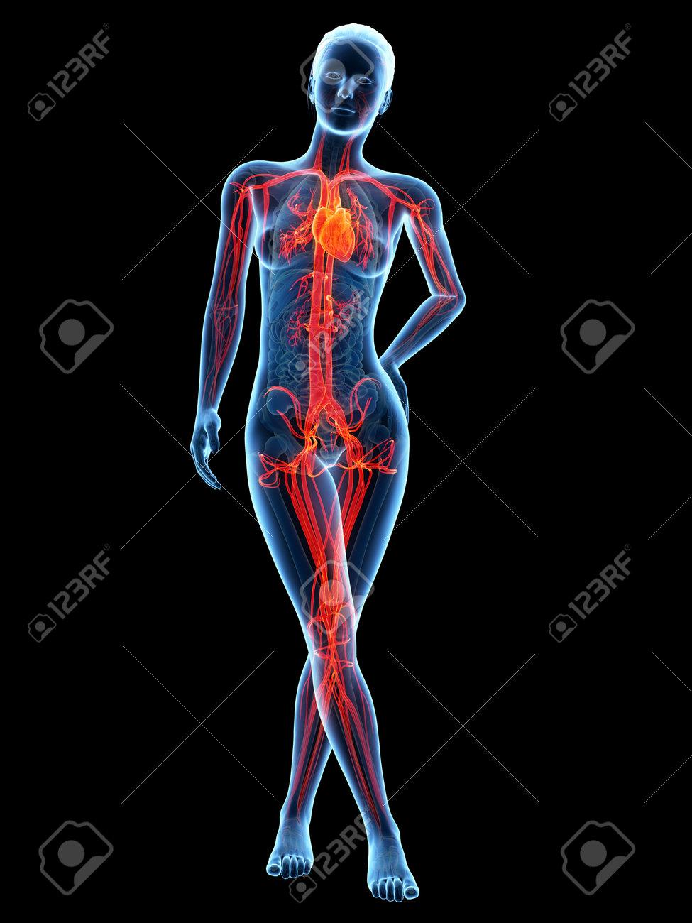 Medical 3d Illustration - Female Anatomy - Cardiovascular System ...