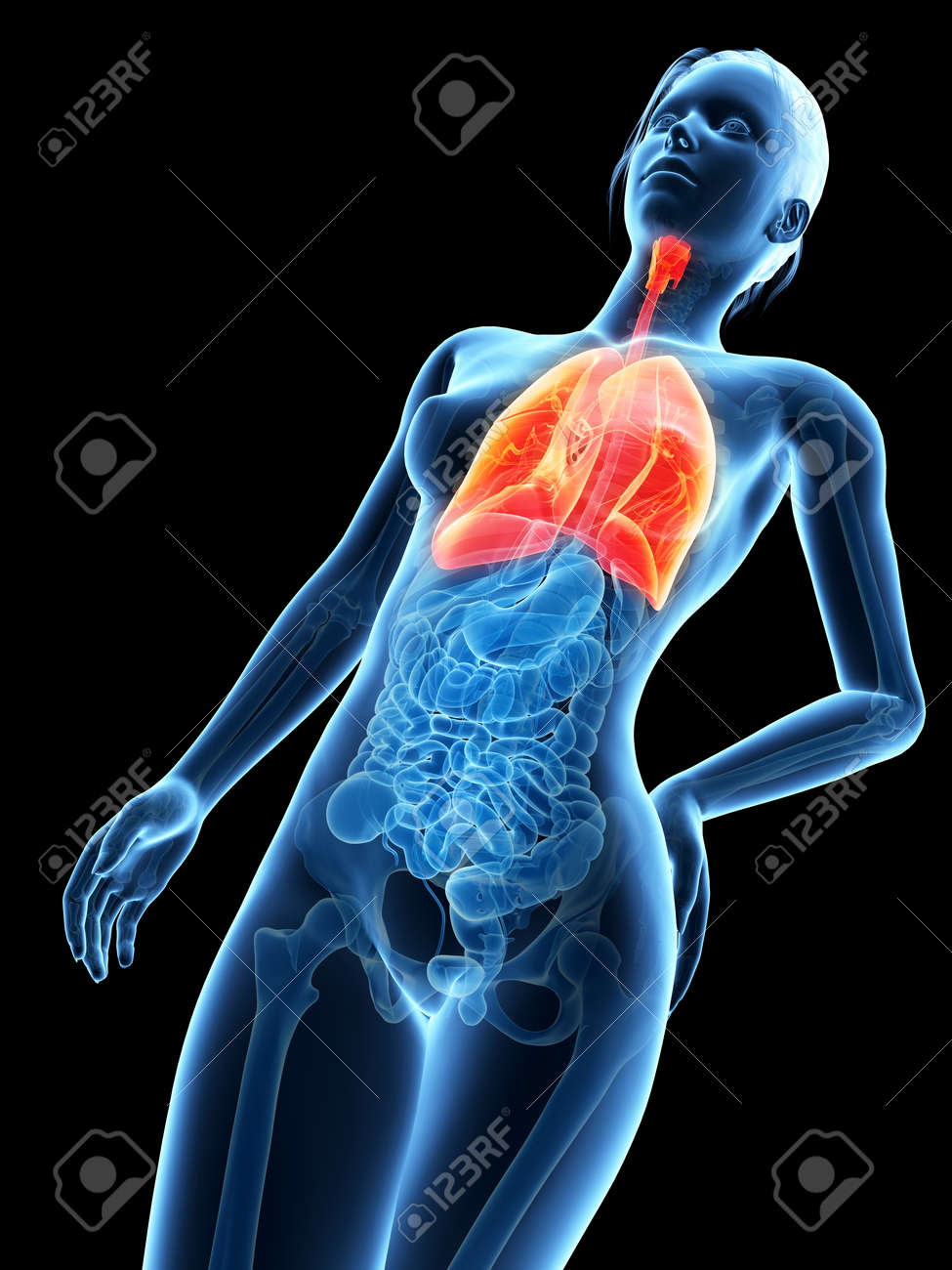 Medical 3d Illustration - Female Anatomy - Lung Stock Photo, Picture ...