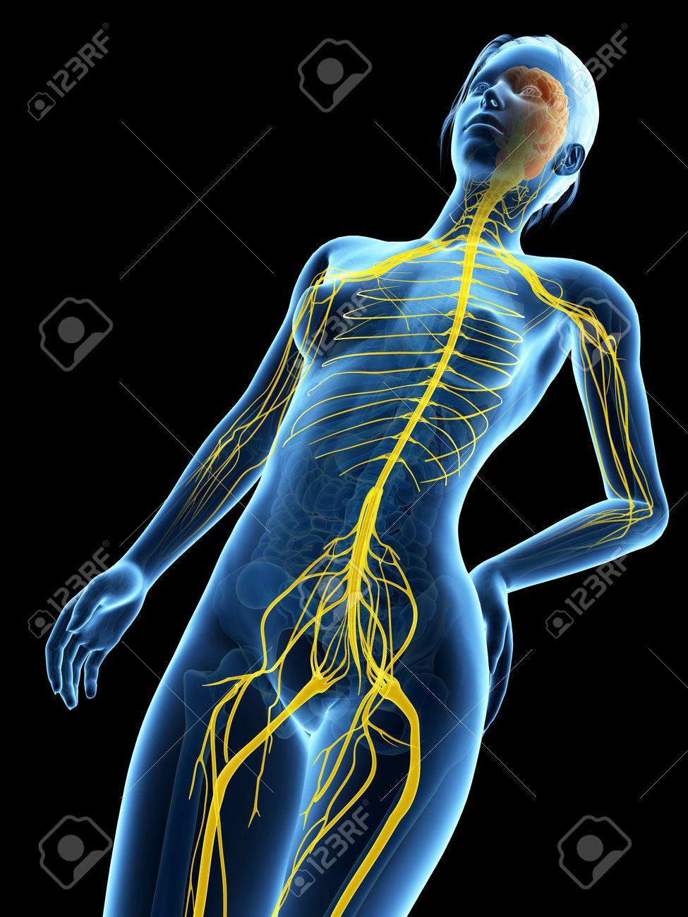 Medical 3d Illustration Female Anatomy Nervous System Stock