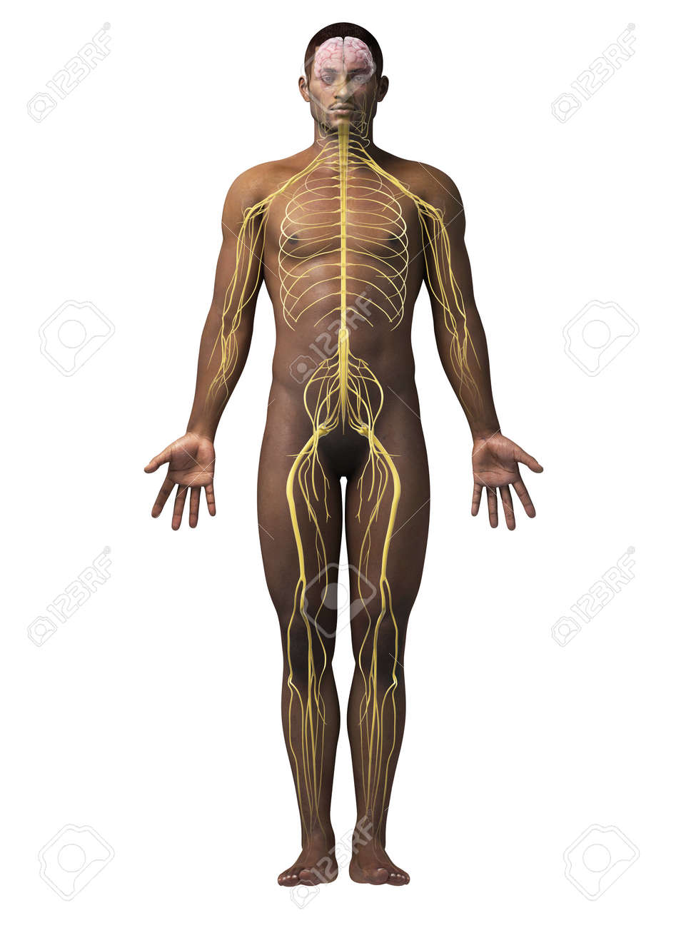 Anatomy Of An African American Man - Nerves Stock Photo, Picture And ...