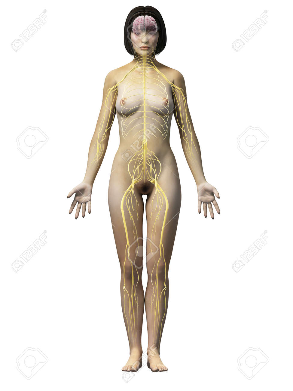 Anatomy Of An Asian Woman - Nerves Stock Photo, Picture And Royalty ...