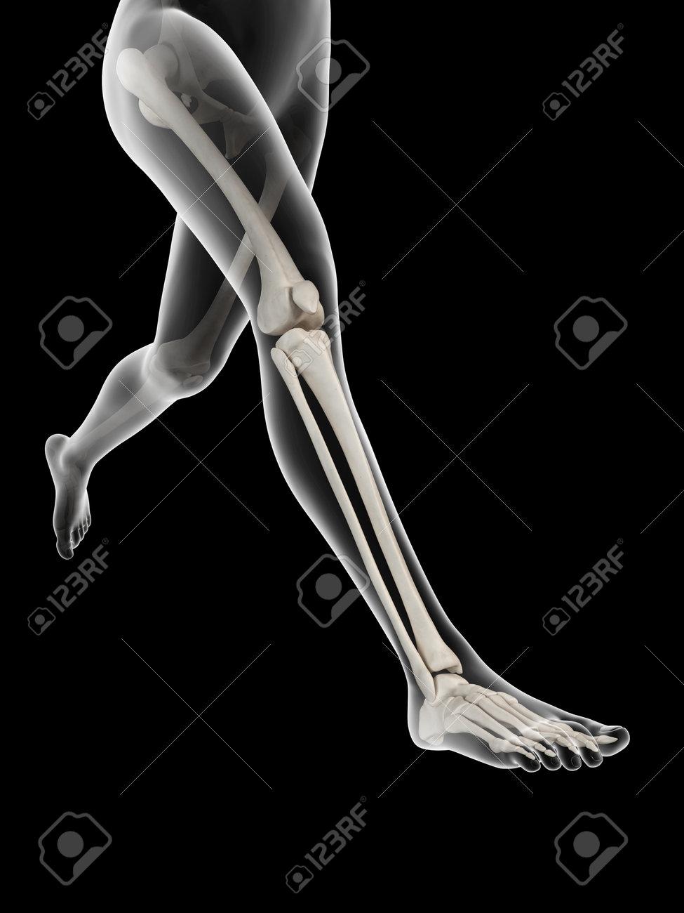 Mujer Corriente - Anatomía Visible De Los Huesos De La Pierna Fotos ...
