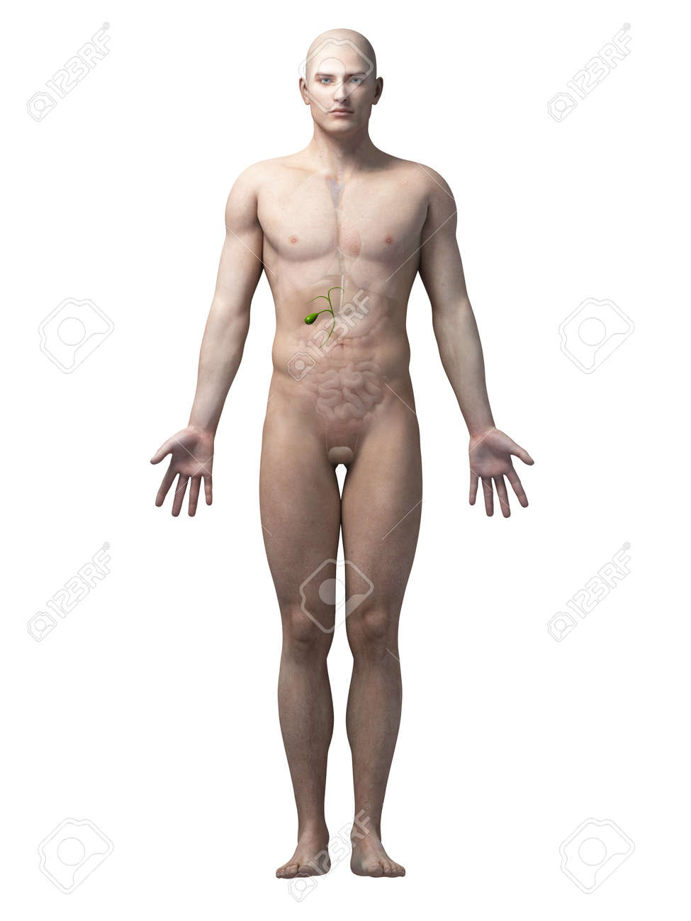 Male Anatomy Illustration - The Gallbladder Stock Photo, Picture And ...