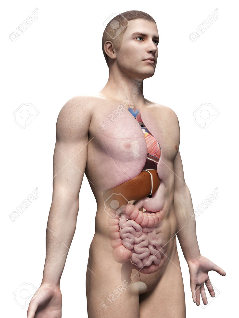 Male Anatomy Illustration - The Organs Stock Photo, Picture And ...