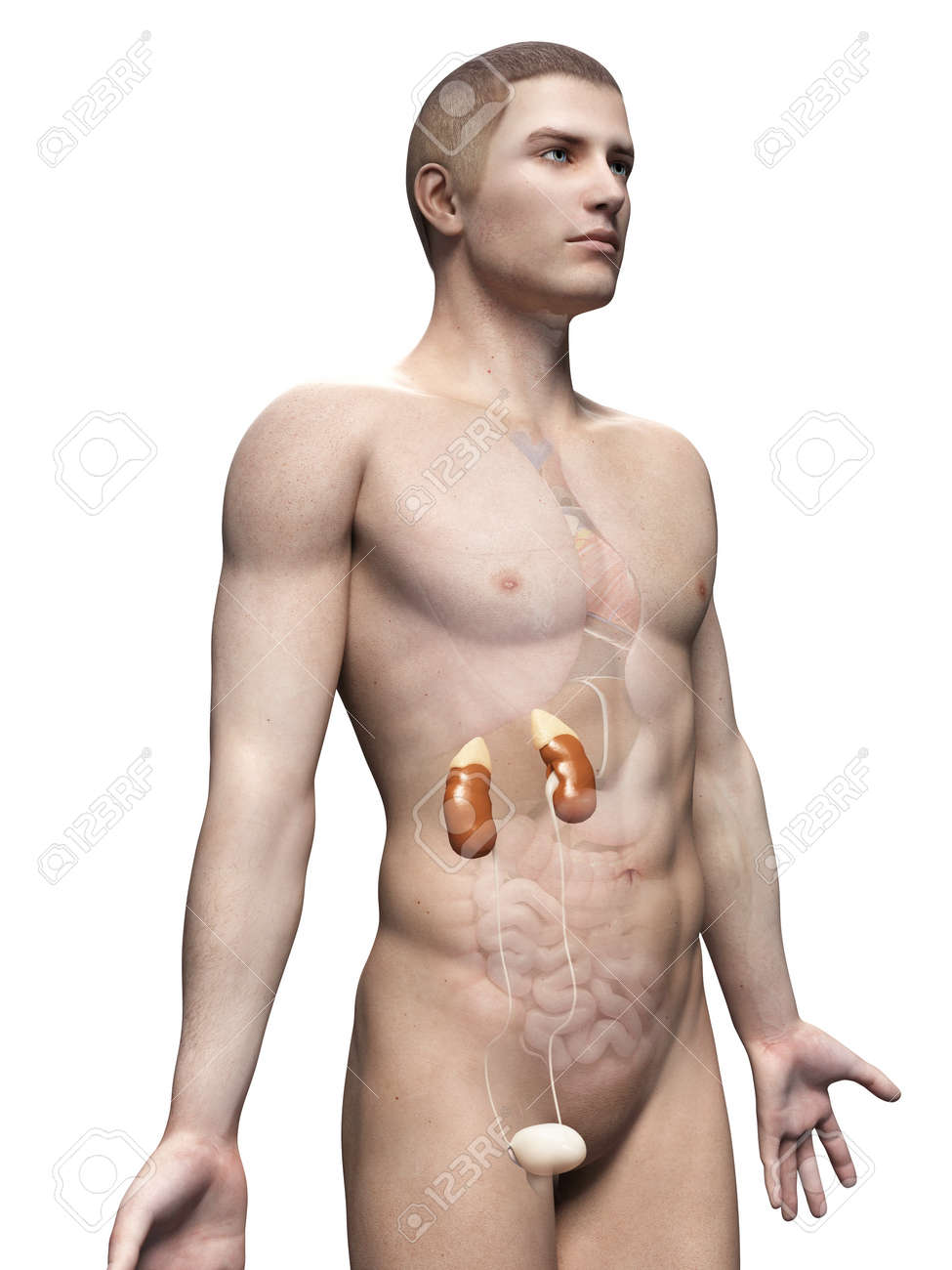 Male Anatomy Illustration - The Urinary System Stock Photo, Picture ...