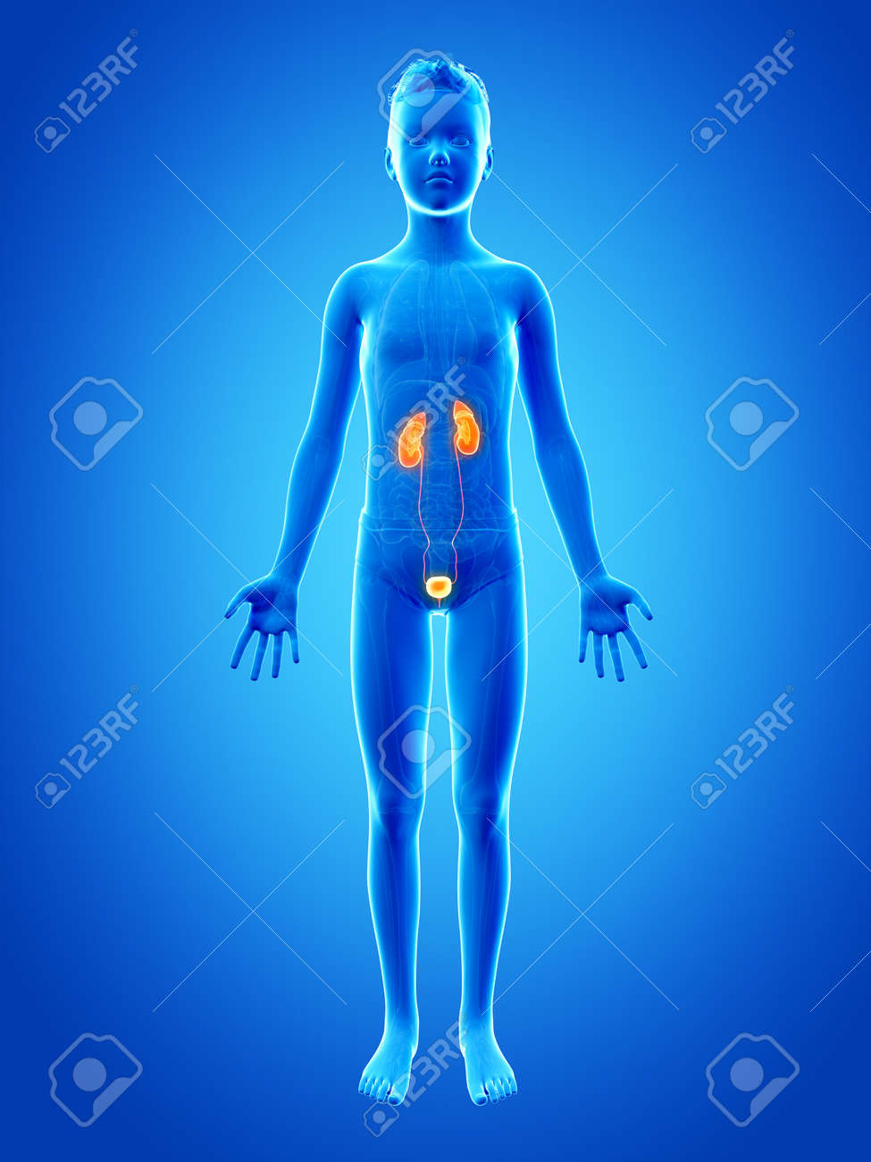 Anatomy Of A Young Boy The Urinary System Stock Photo Picture And