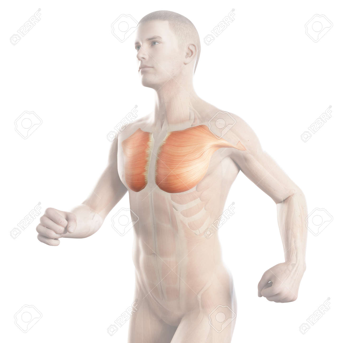 Illustration Showing The Breast Muscle Of A Jogger Stock Photo ...