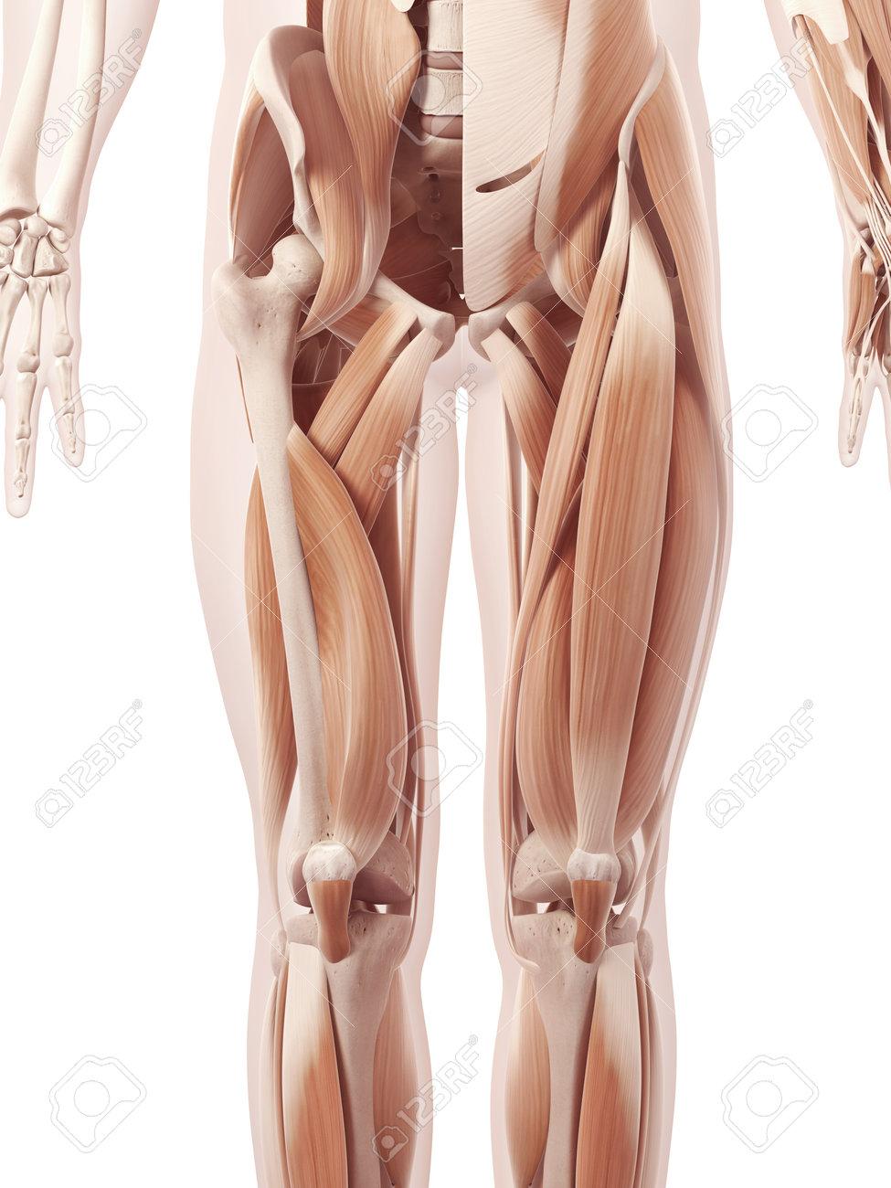 Encantador Diagrama De Músculo De La Pierna Bosquejo - Imágenes de ...
