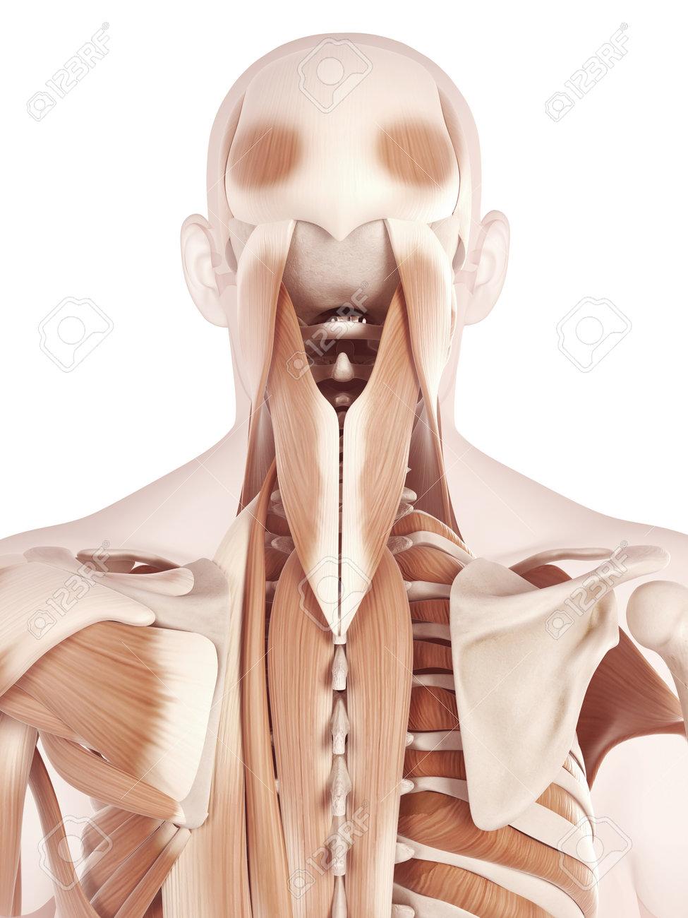 Ilustración De La Anatomía Que Muestra Los Músculos Del Cuello Fotos ...