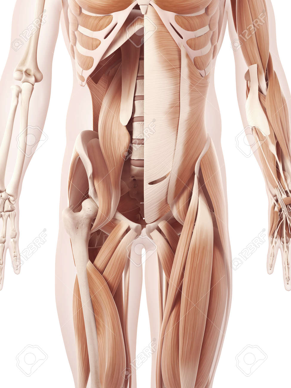abdominal muscle group See images abdominal muscle group,detailed abdominal muscle group, free downloading on this post i want to percentage the pictures abdominal muscle group for you and a few of the.