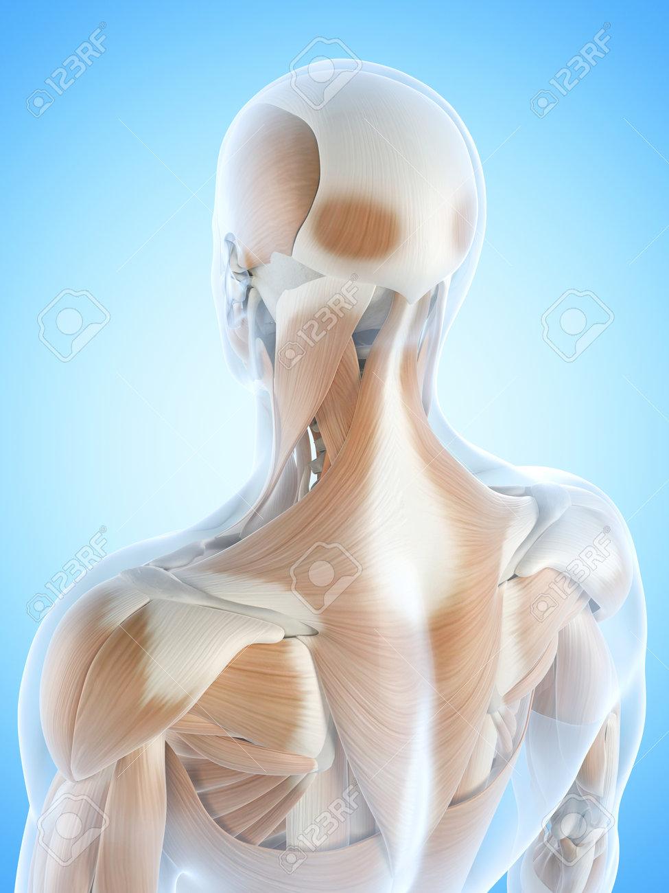 Ilustración De La Anatomía Que Muestra Los Músculos De La Espalda ...