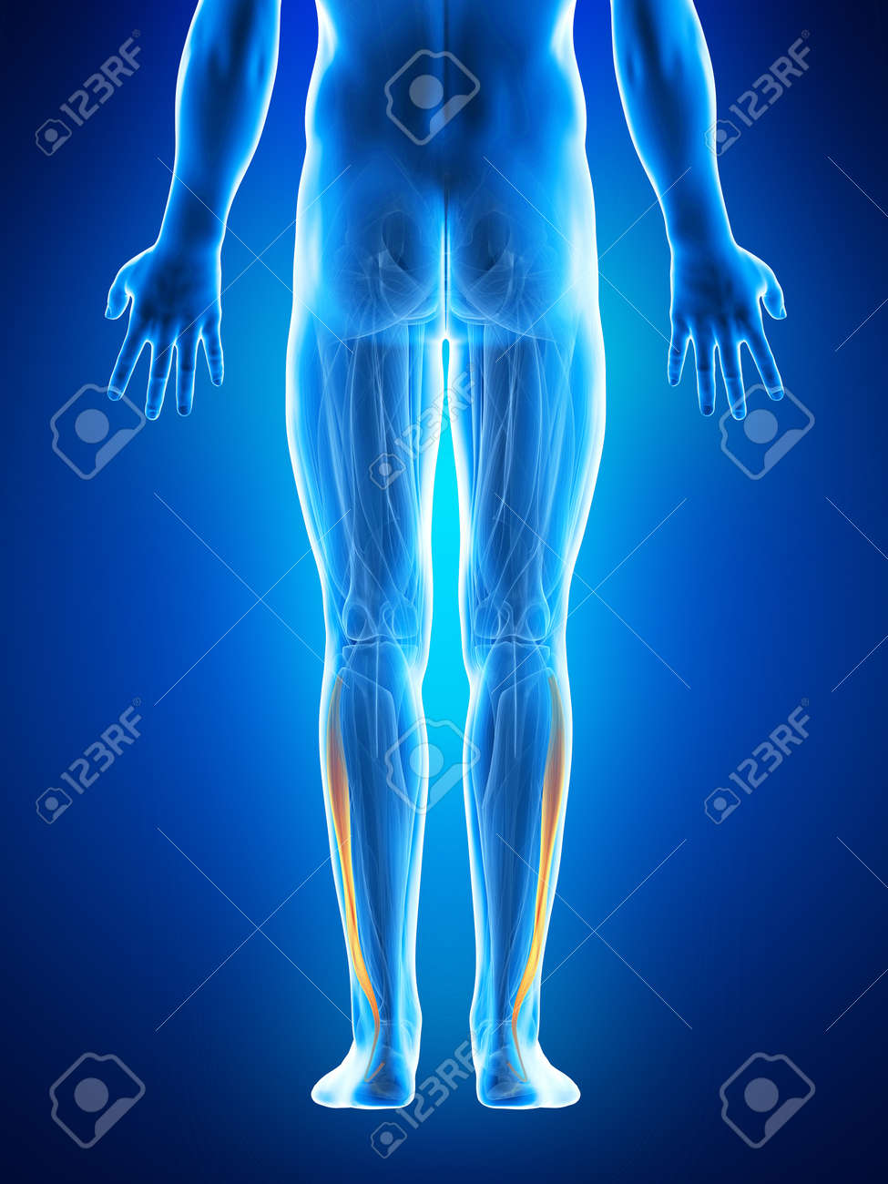 Anatomy Illustration Showing The Fibularis Longus Stock Photo