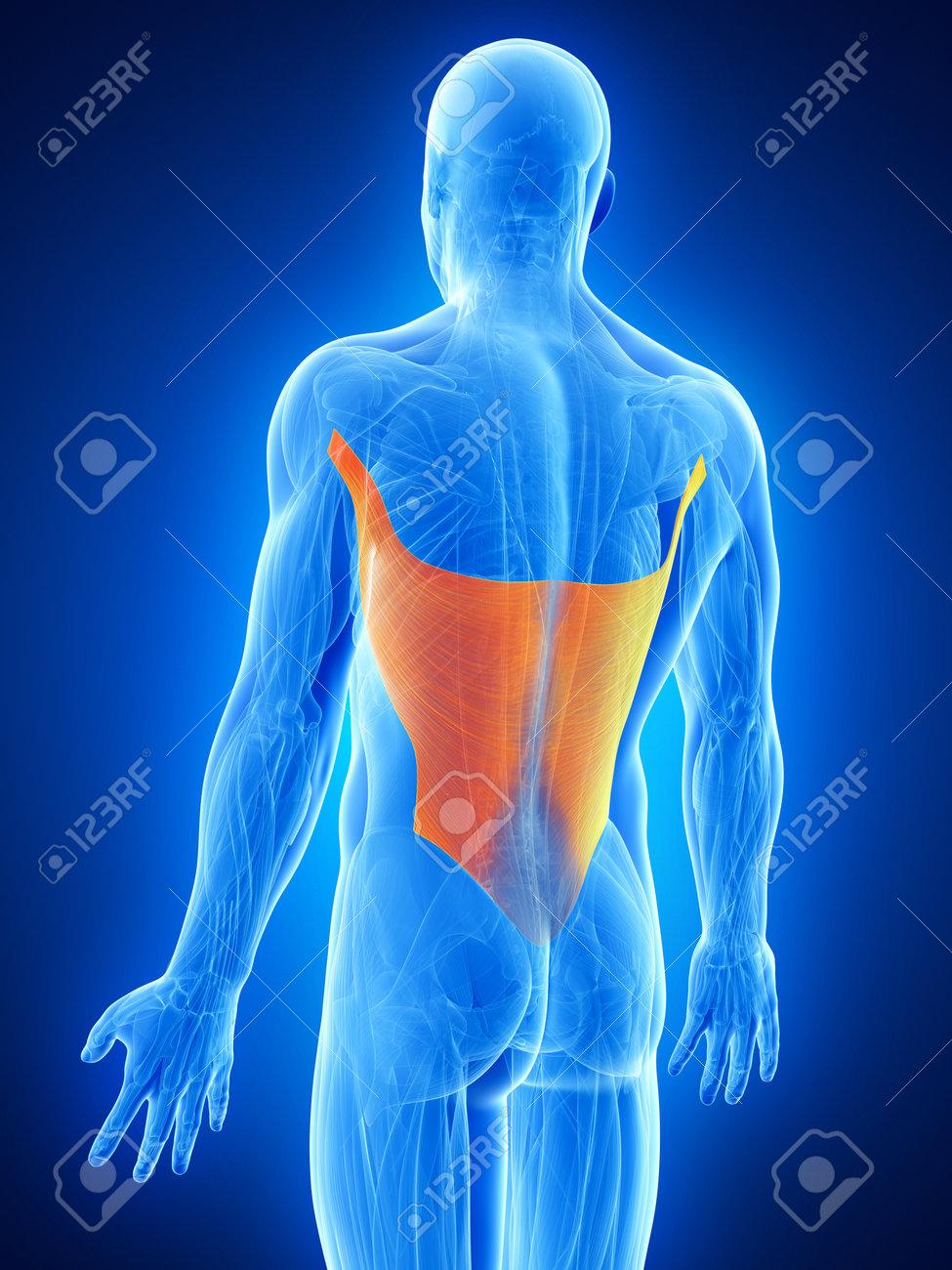 Anatomy Illustration Showing The Latissimus Dorsi Stock Photo ...