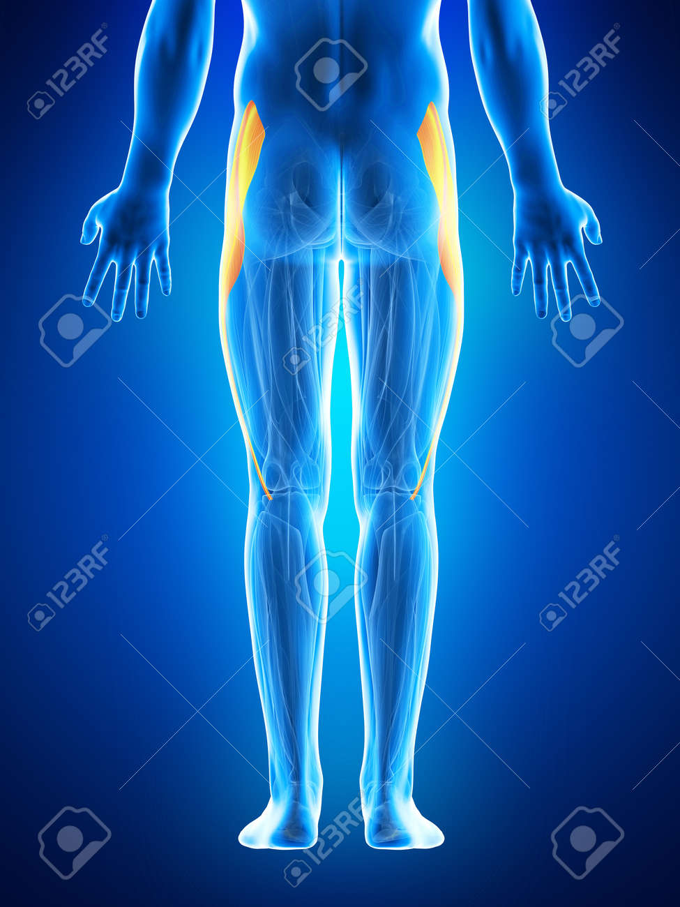 Anatomy Illustration Showing The Tensior Fascia Lata Stock Photo ...