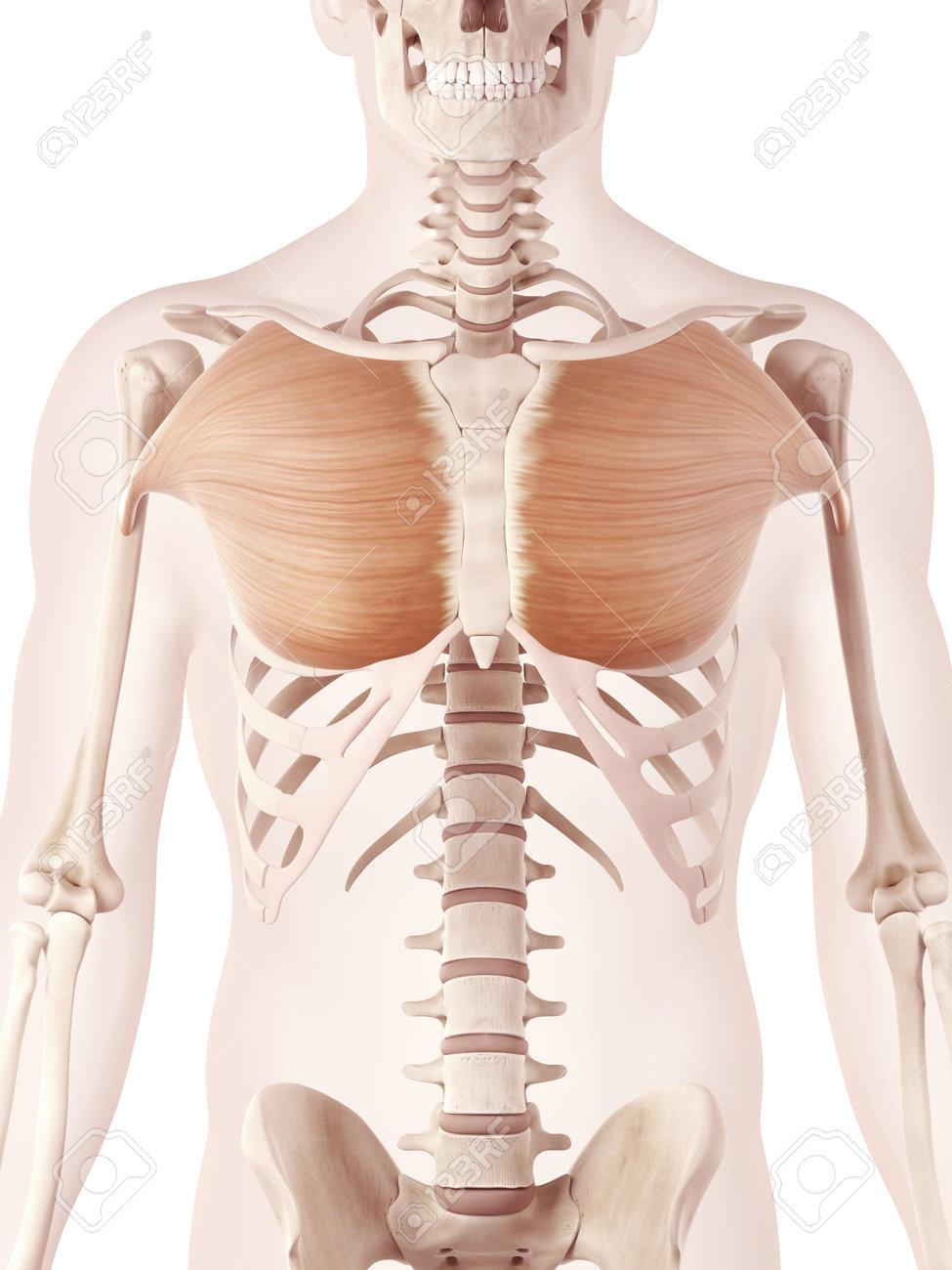 解剖学イラスト表示大胸筋 の写真素材画像素材 Image 27227875