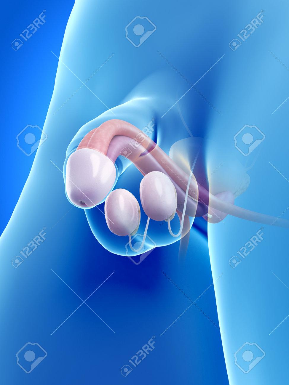Magnífico La Anatomía Del Pene Fotos - Imágenes de Anatomía Humana ...