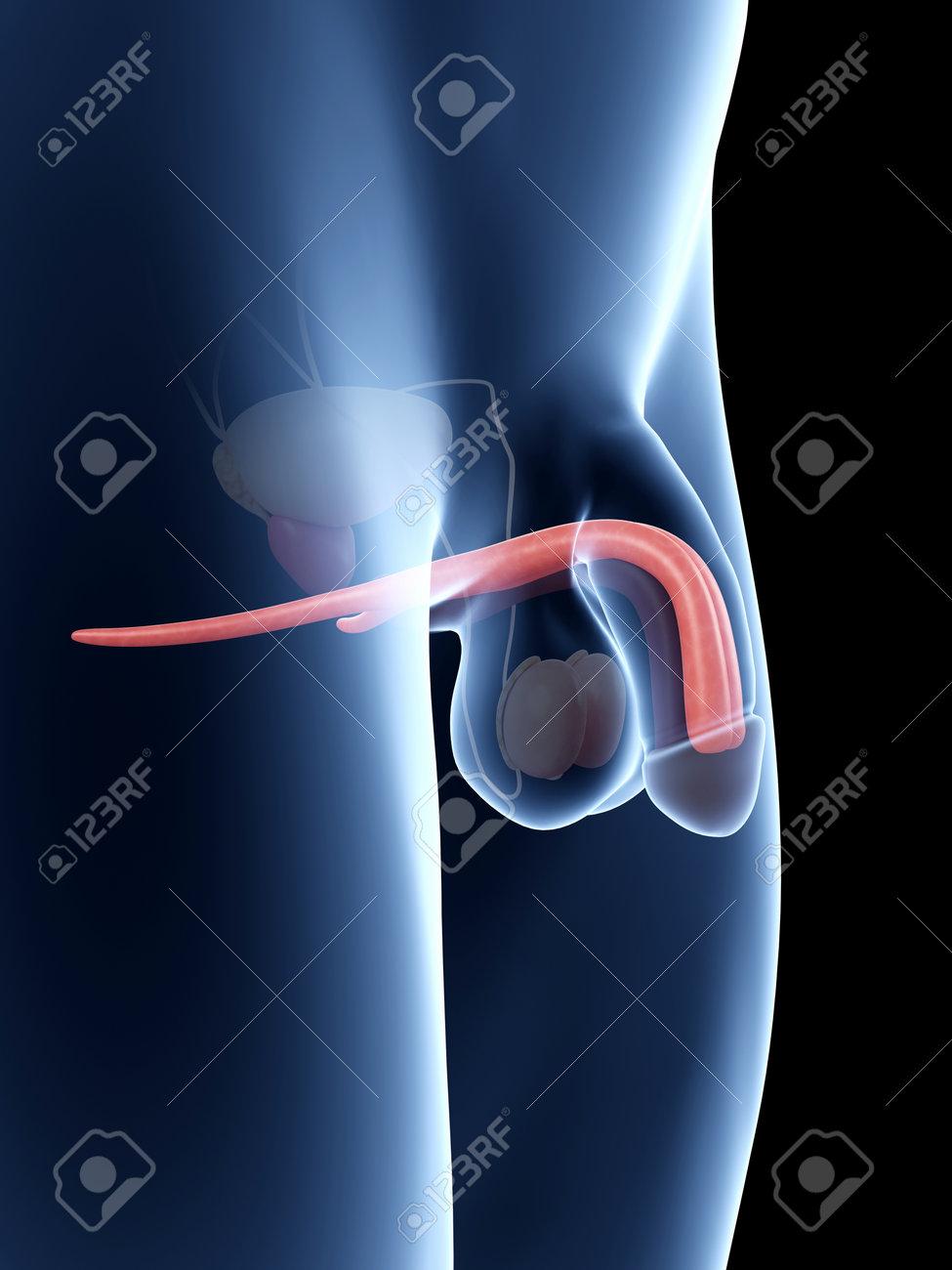 Ilustración De La Anatomía Del Pene - Cuerpo Cavernoso Fotos ...