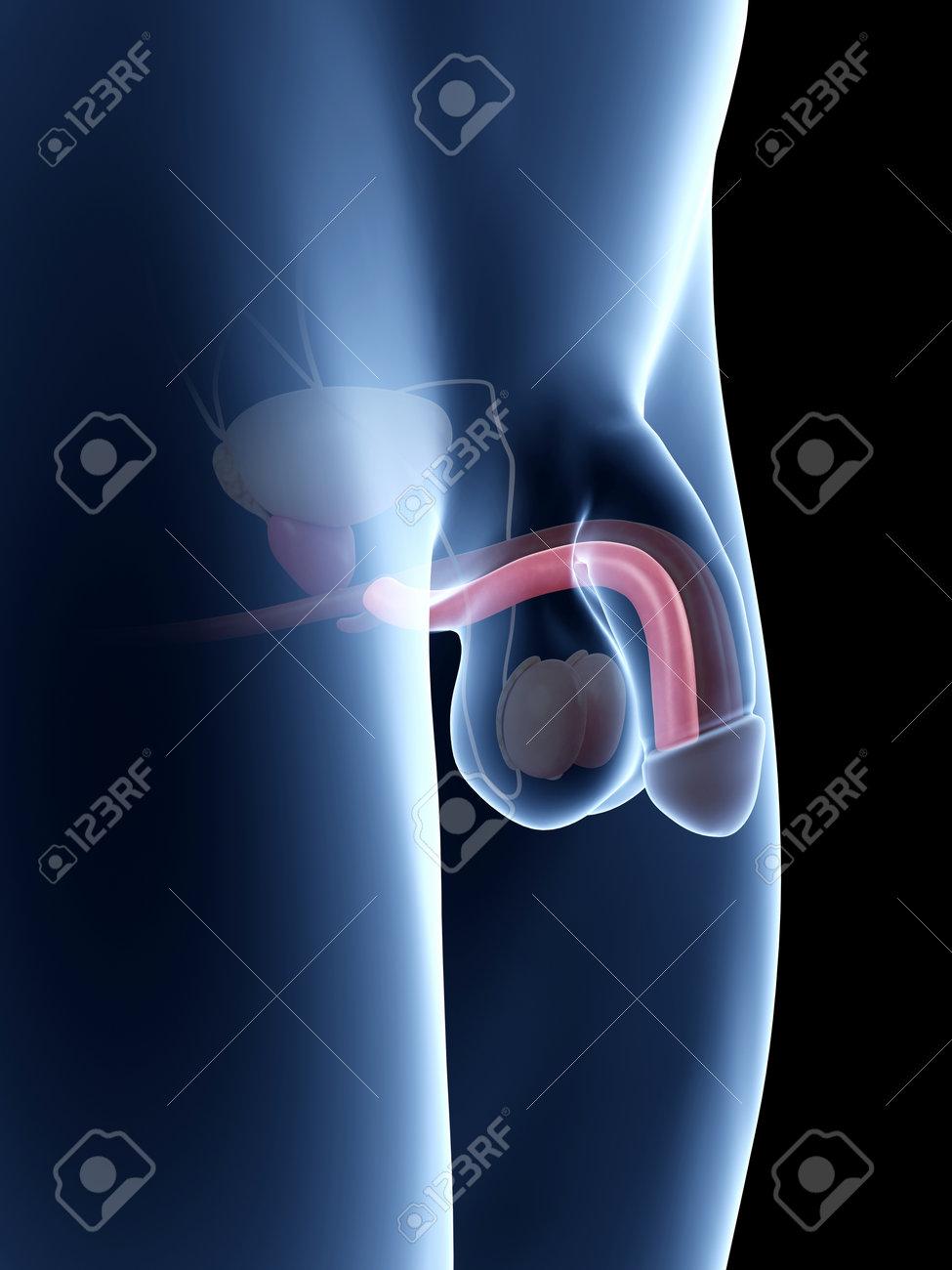Asombroso La Anatomía Del Pene Masculino Friso - Imágenes de ...