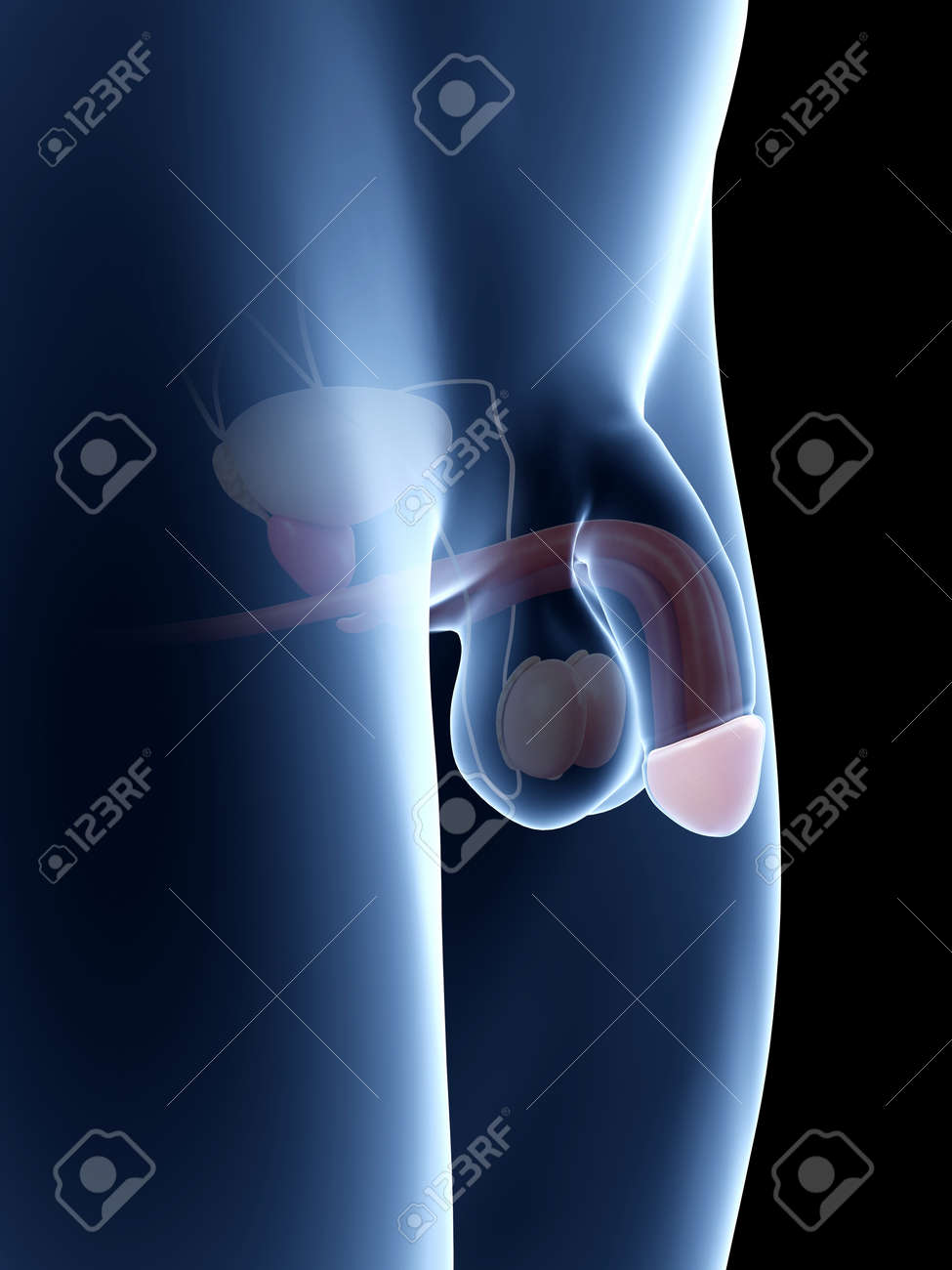 Anatomy Illustration Of The Penis - Glans Stock Photo, Picture And ...