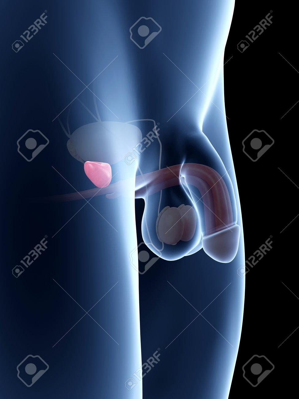Ilustración De La Anatomía Del Pene - La Próstata Fotos, Retratos ...