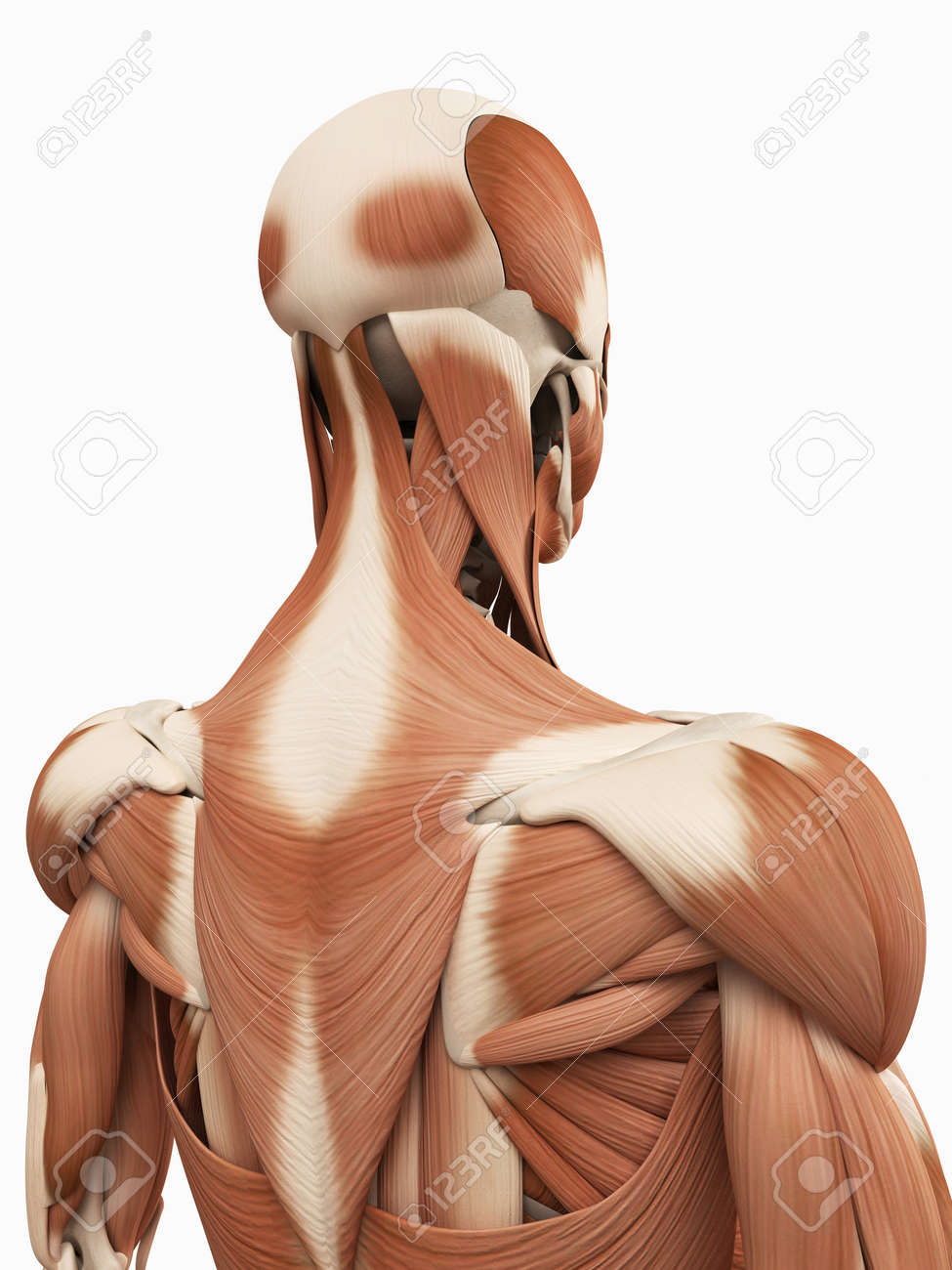 Medical 3d Illustration Of The Upper Back Muscles Stock Photo