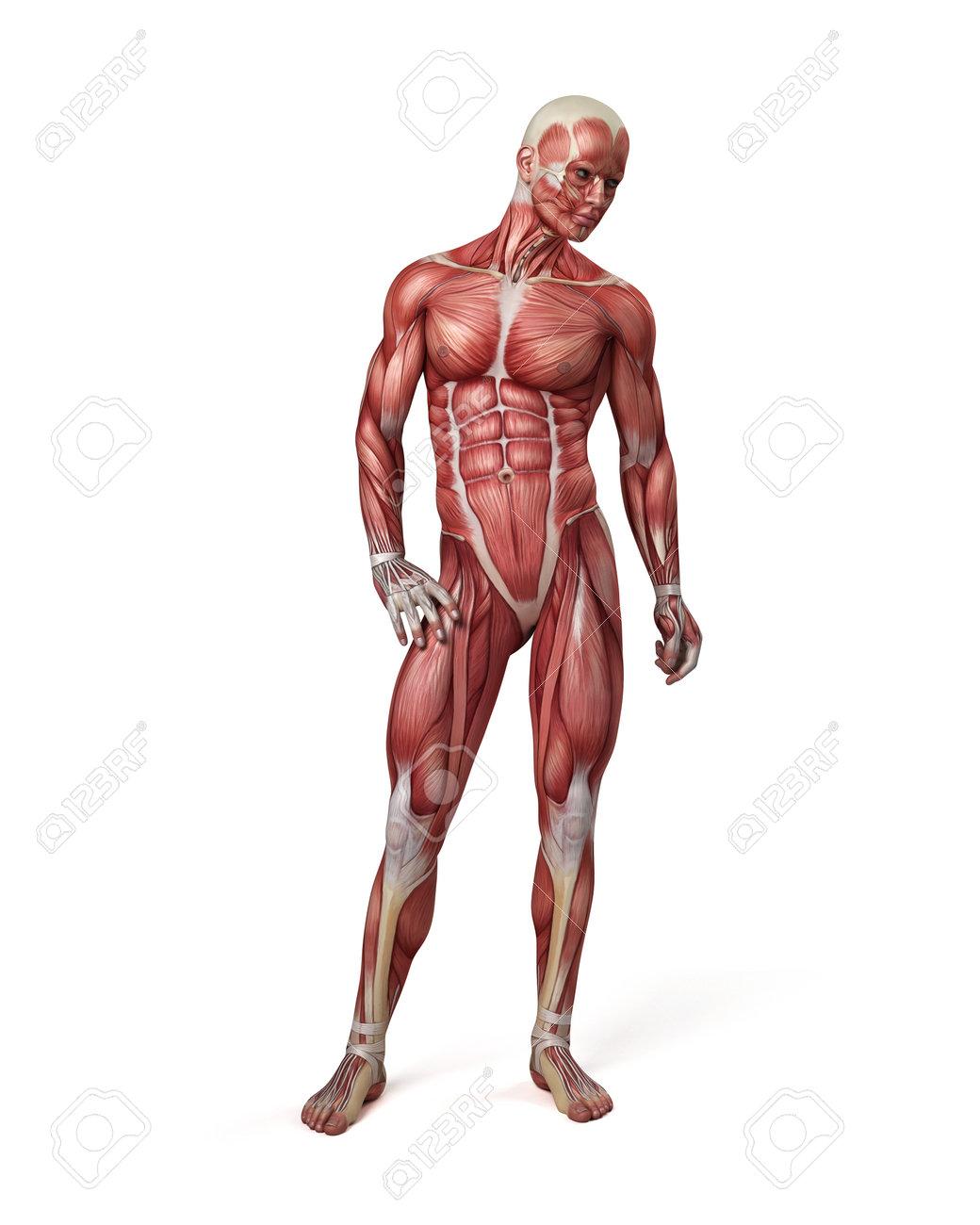 3d Ilustración Médica Del Sistema Muscular Masculina Fotos, Retratos ...