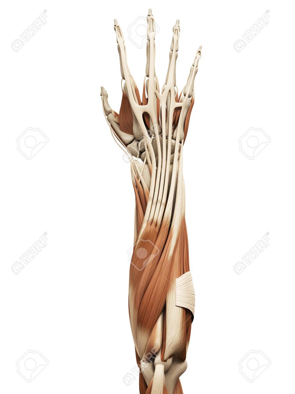 Anatomía Muscular - Los Músculos Del Brazo Fotos, Retratos, Imágenes ...