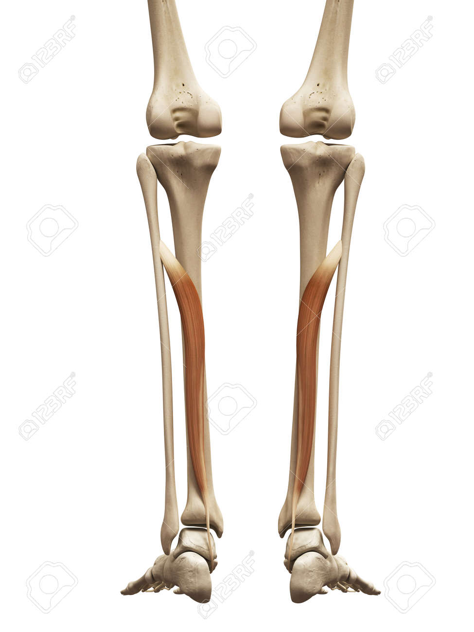 Muscle Anatomy The Flexor Digitorum Longus Stock Photo Picture