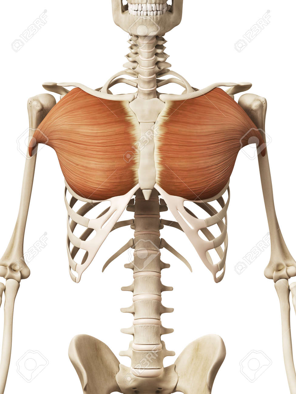 muscle anatomy - the pectoralis major stock photo - 32521312