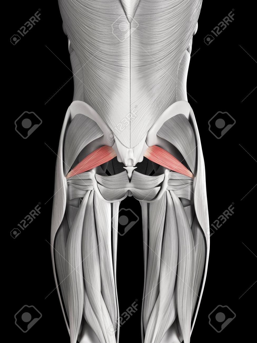 Anatomía Muscular Humana - Piriforme Fotos, Retratos, Imágenes Y ...
