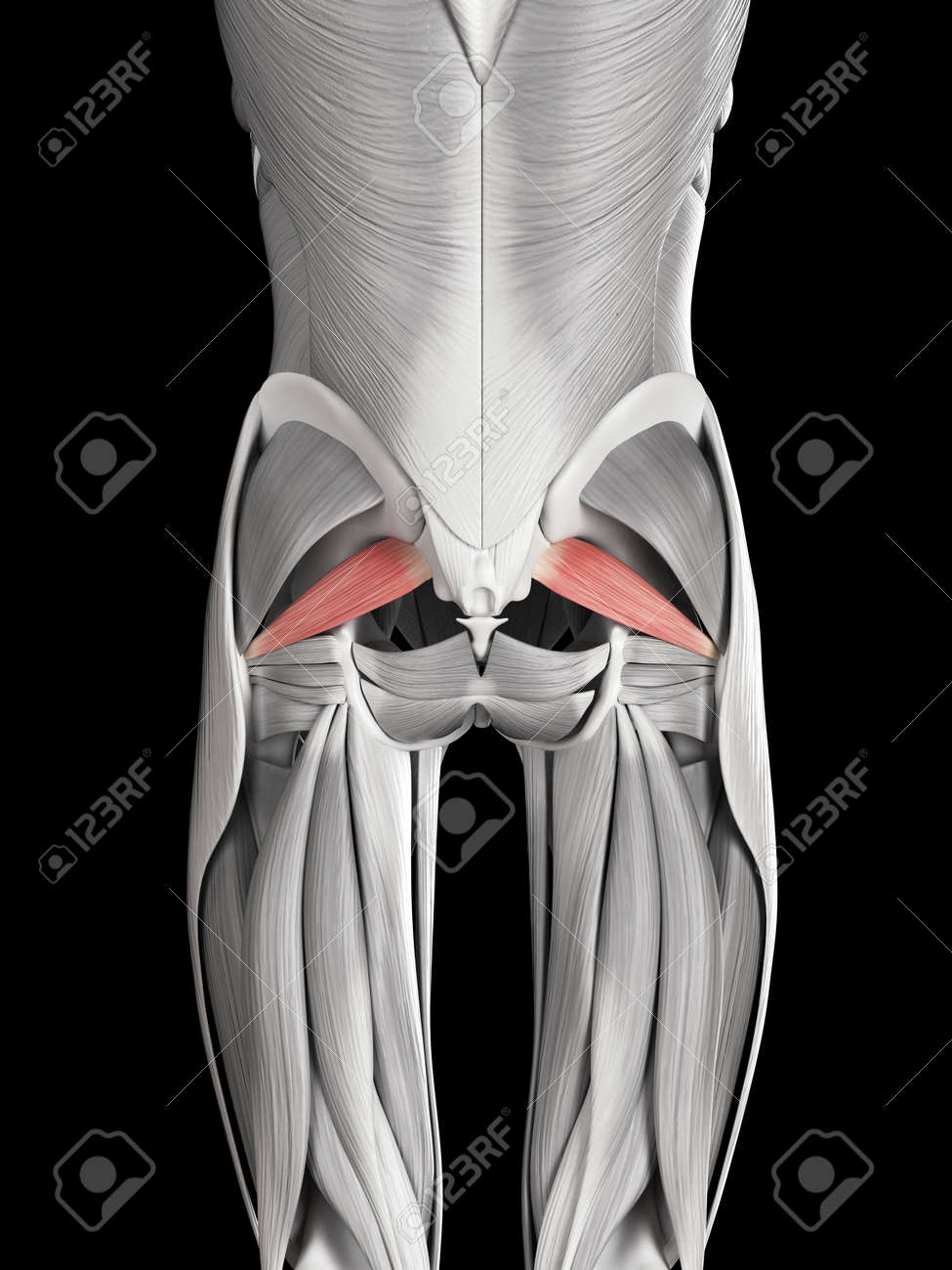 Human Muscle Anatomy - Piriformis Stock Photo, Picture And Royalty ...