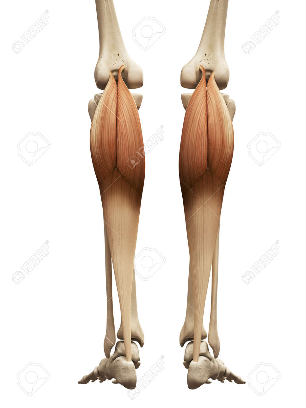Muscle Anatomy The Gastrocnemius Stock Photo Picture And Royalty