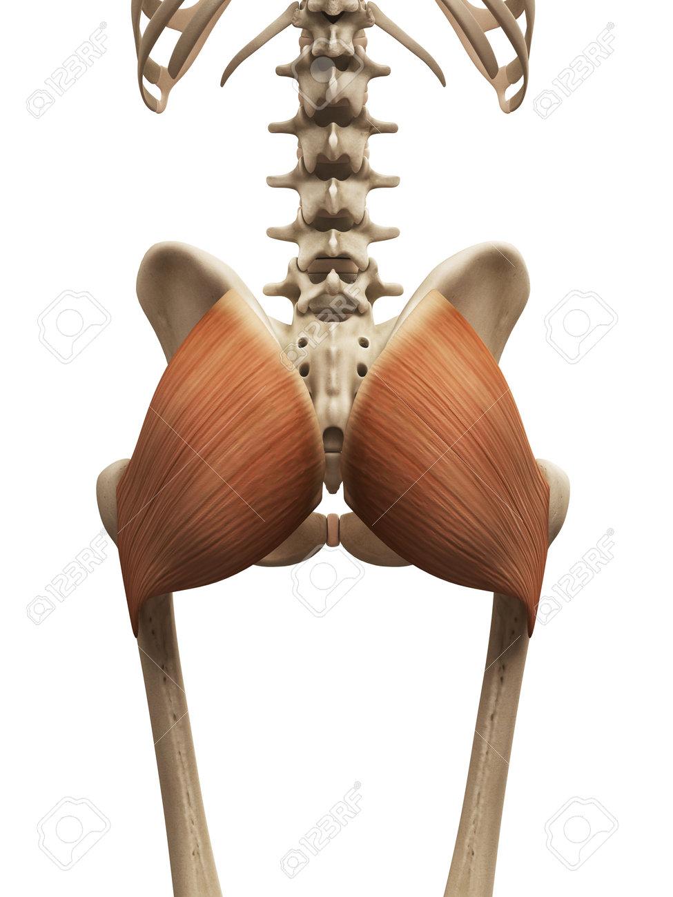 Anatomía Muscular - El Glúteo Mayor Fotos, Retratos, Imágenes Y ...