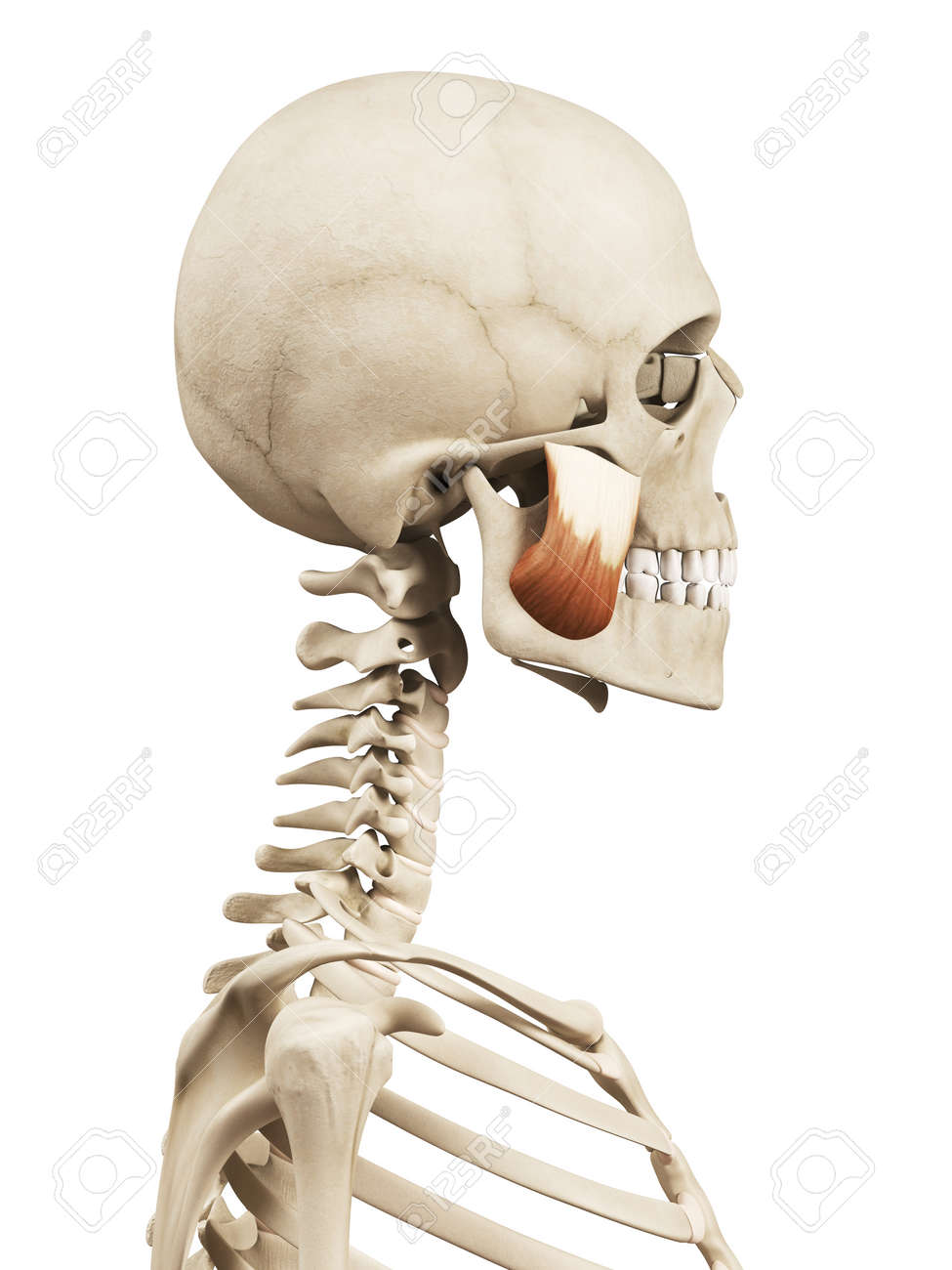 Muscle Anatomy The Masseter Superior Stock Photo Picture And