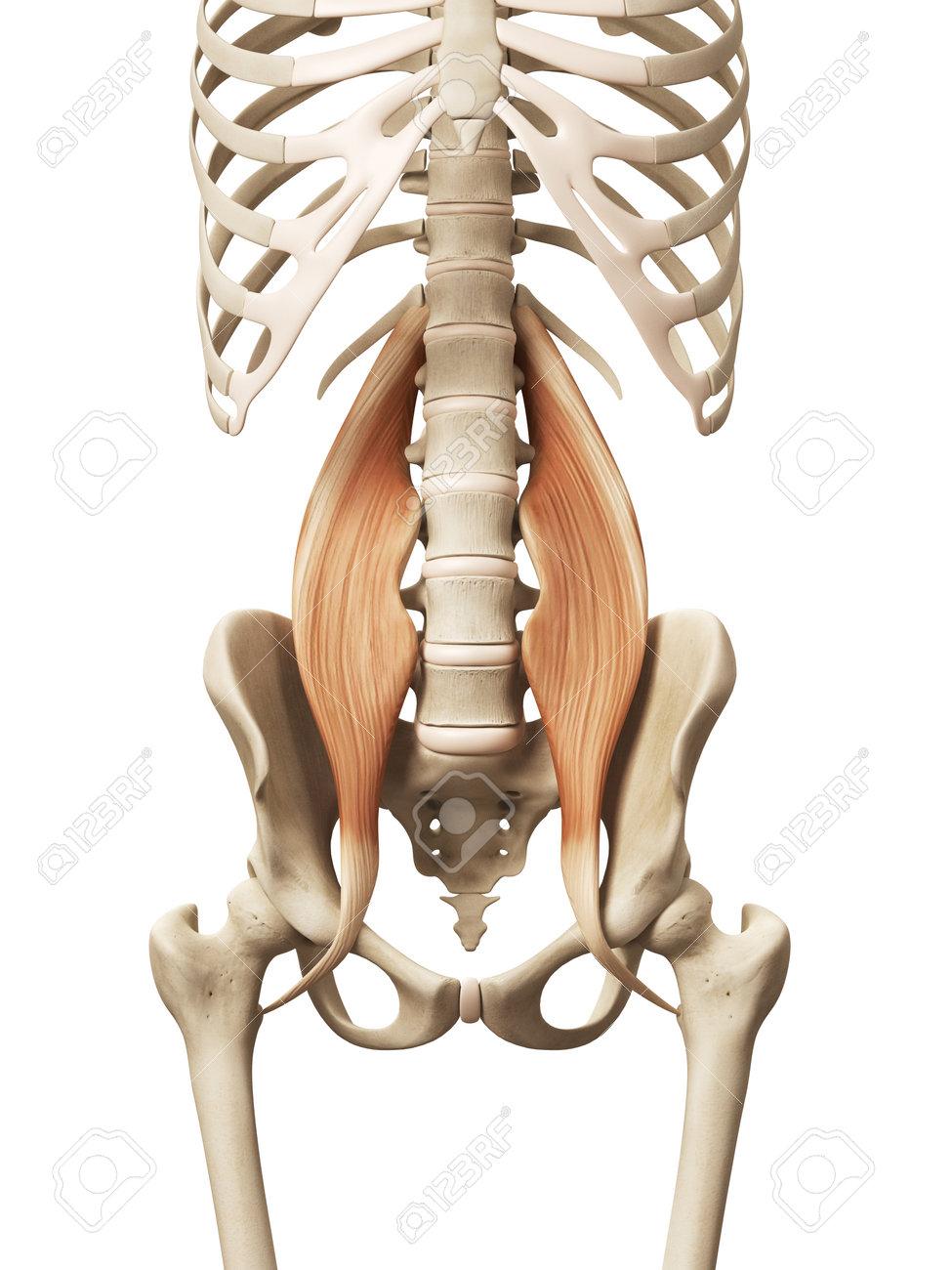 Anatomía Muscular - El Psoas Mayor Fotos, Retratos, Imágenes Y ...