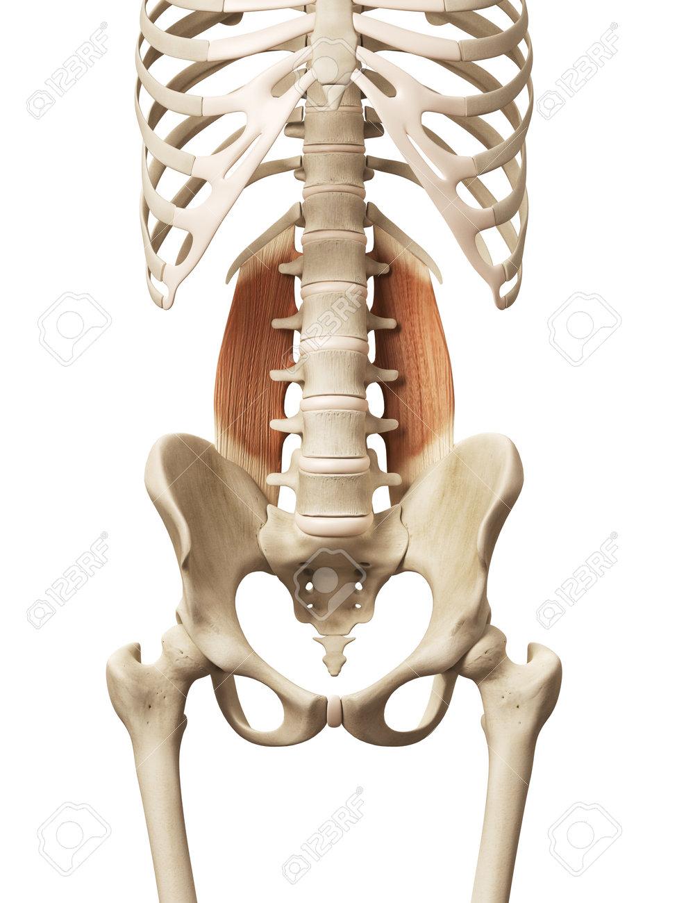 Muscle Anatomy - The Quadratus Lumborum Stock Photo, Picture And ...