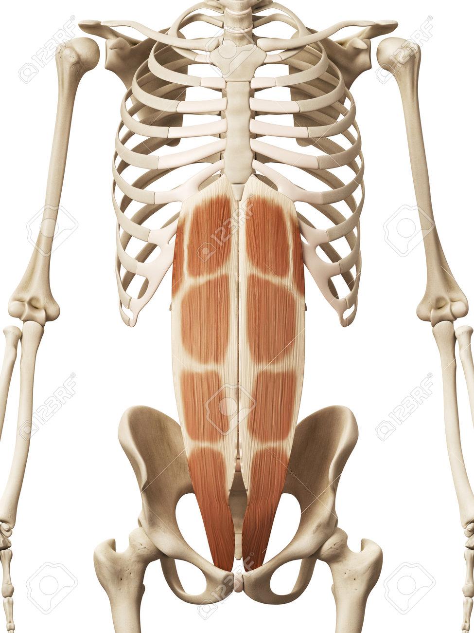 Anatomía Muscular - El Recto Abdominal Fotos, Retratos, Imágenes Y ...