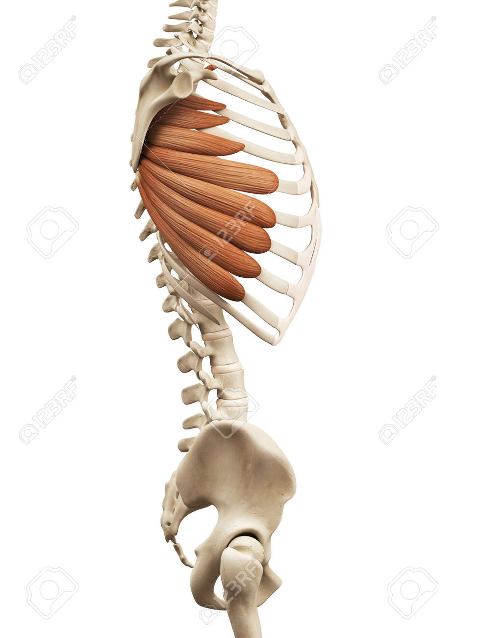 Muscle Anatomy The Serratus Anterior Stock Photo Picture And