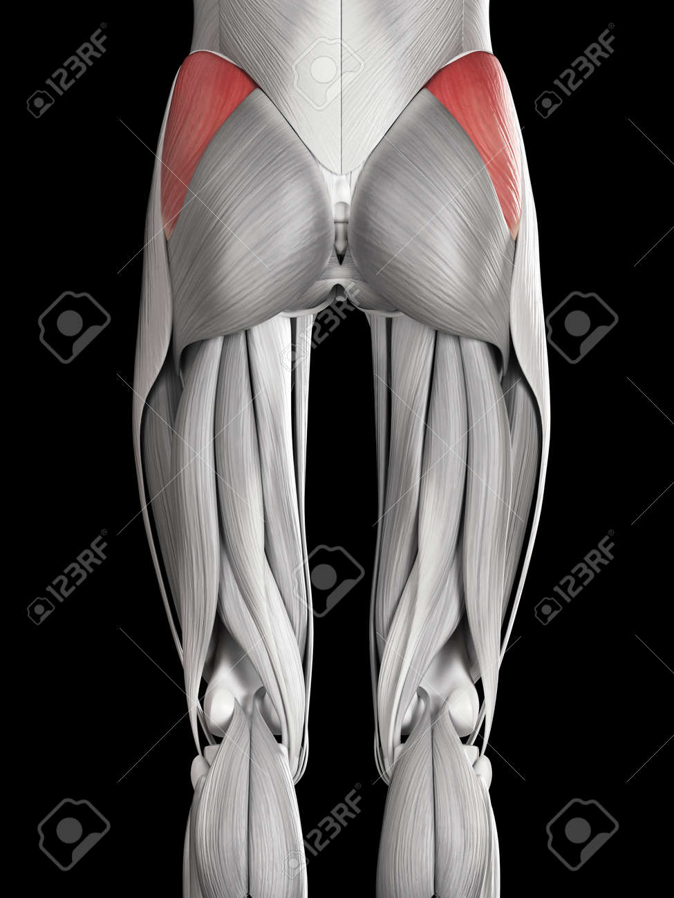 Human Muscle Anatomy - Gluteus Medius Stock Photo, Picture And ...