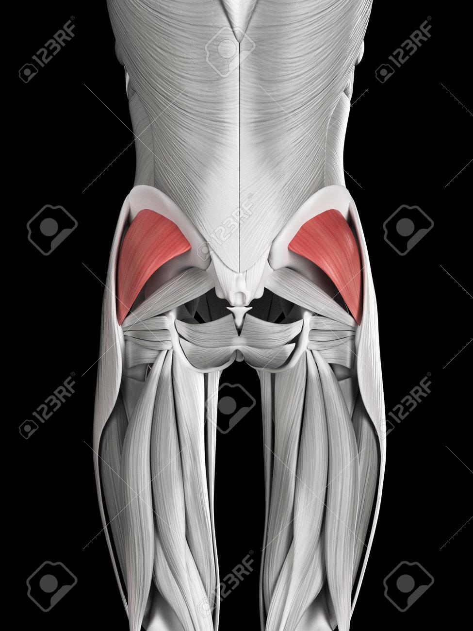 Anatomía Muscular Humana - Glúteo Menor Fotos, Retratos, Imágenes Y ...