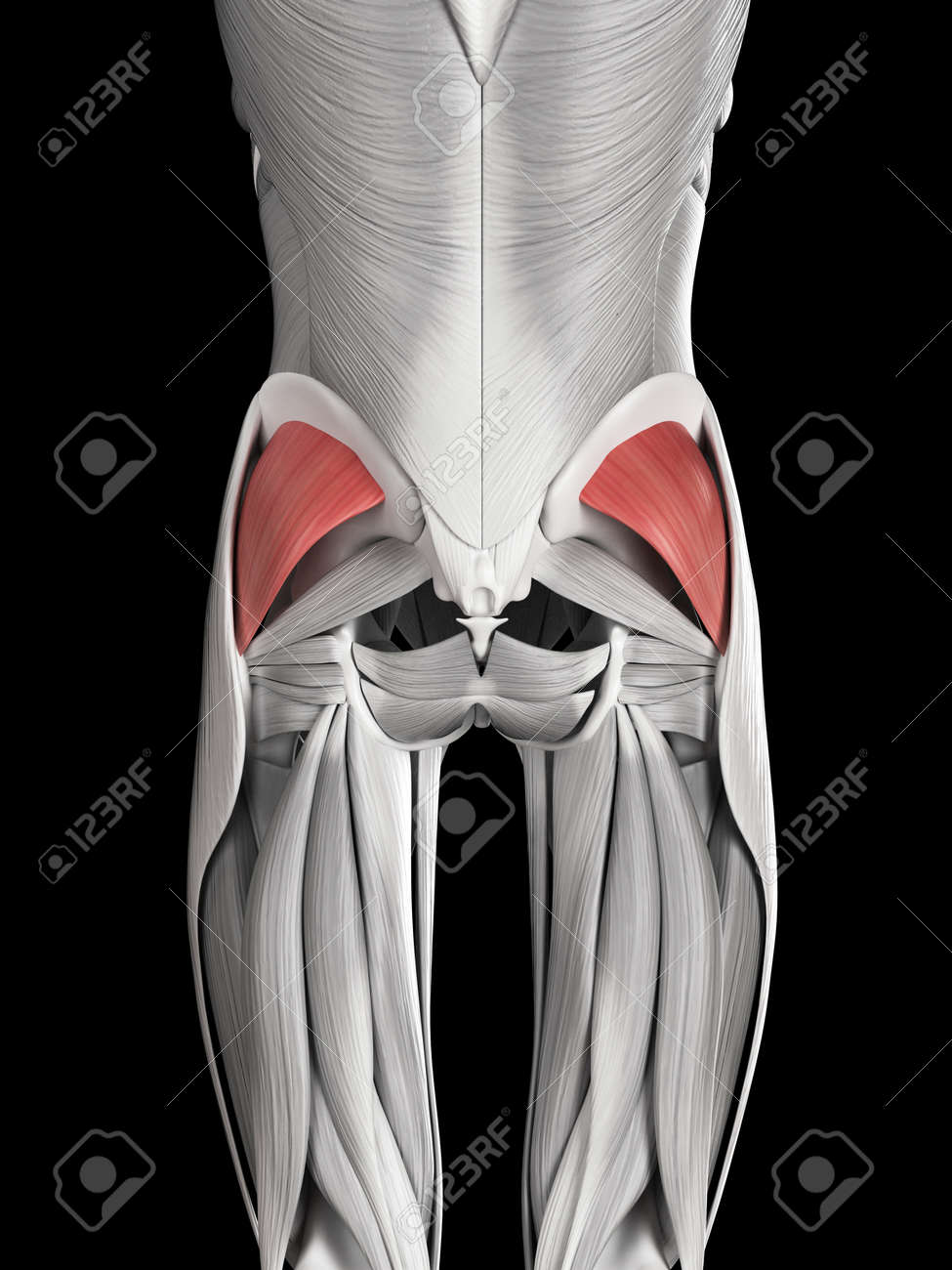 Human Muscle Anatomy Gluteus Minimus Stock Photo Picture And