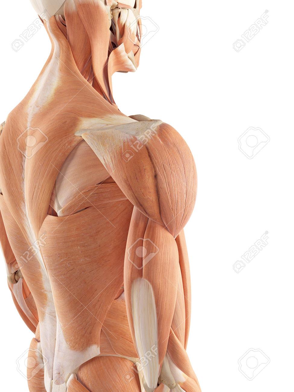 Único Hombro Diagrama Músculos Blade Foto - Anatomía de Las ...