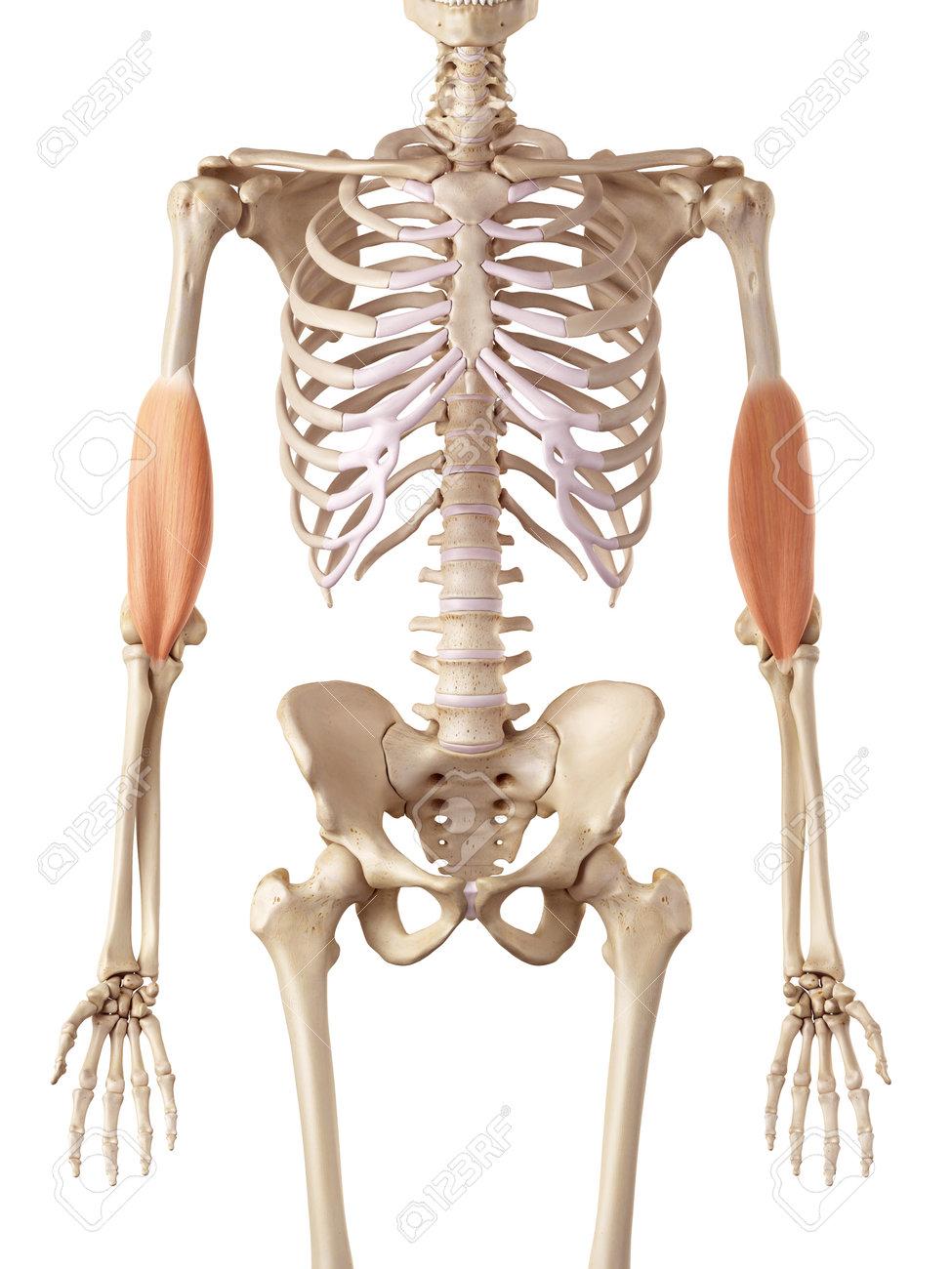 Ausgezeichnet Die Körperbild Organe Zeitgenössisch - Anatomie Ideen ...