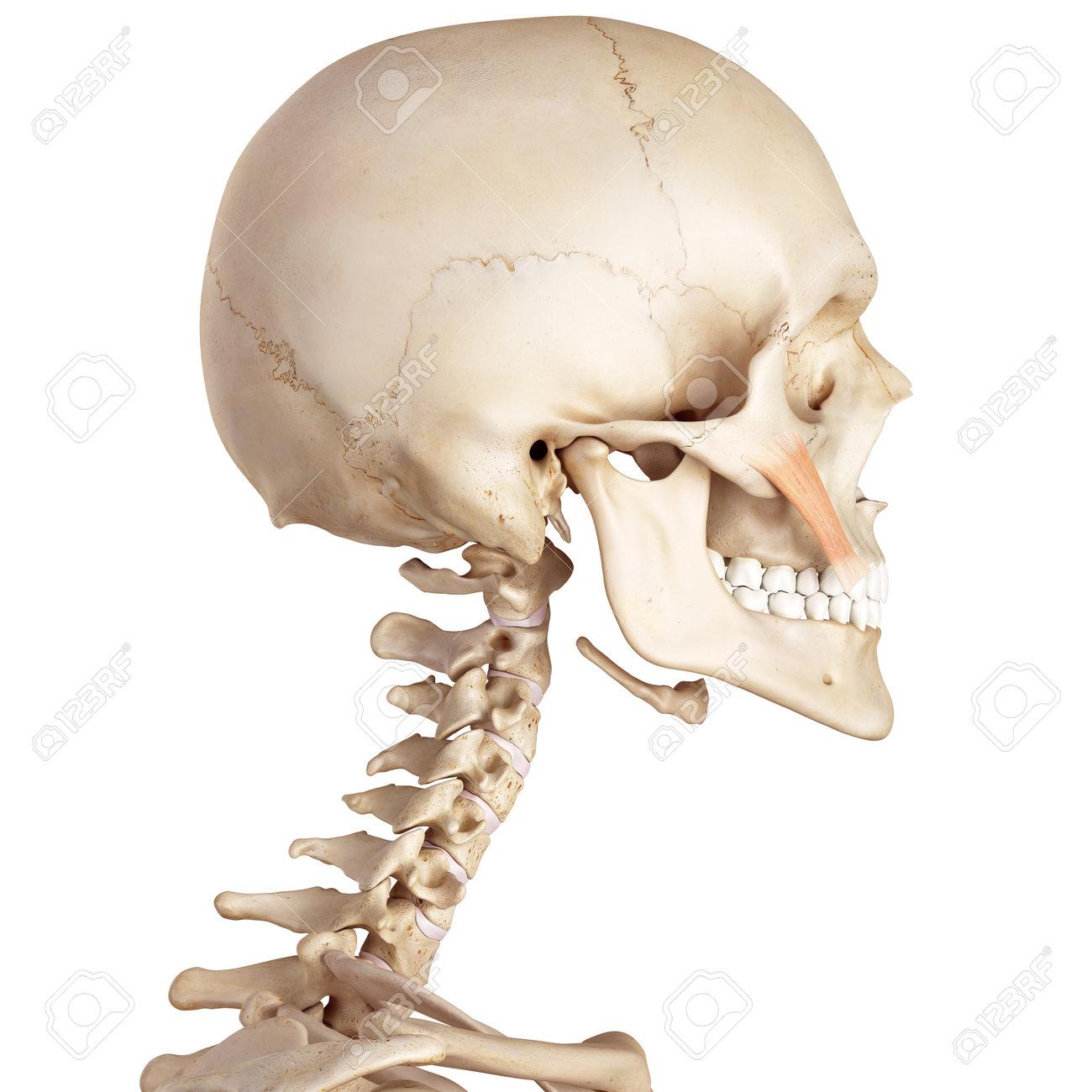 Berühmt Menschliche Anatomie Haupt Fotos - Menschliche Anatomie ...