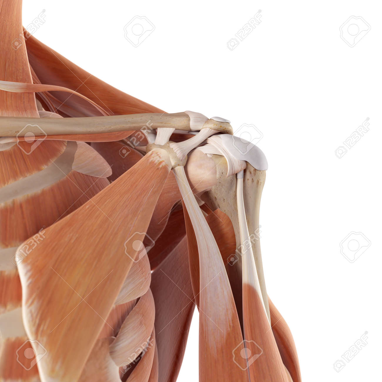 medical accurate illustration of the shoulder muscles - 42219199