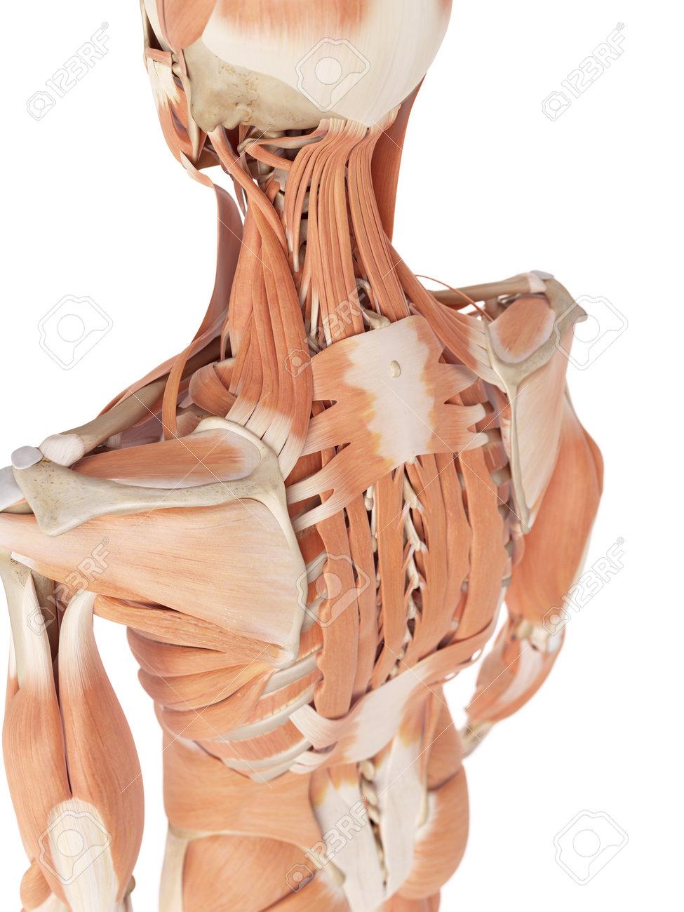 Excelente Músculos De La Espalda Cresta - Imágenes de Anatomía ...