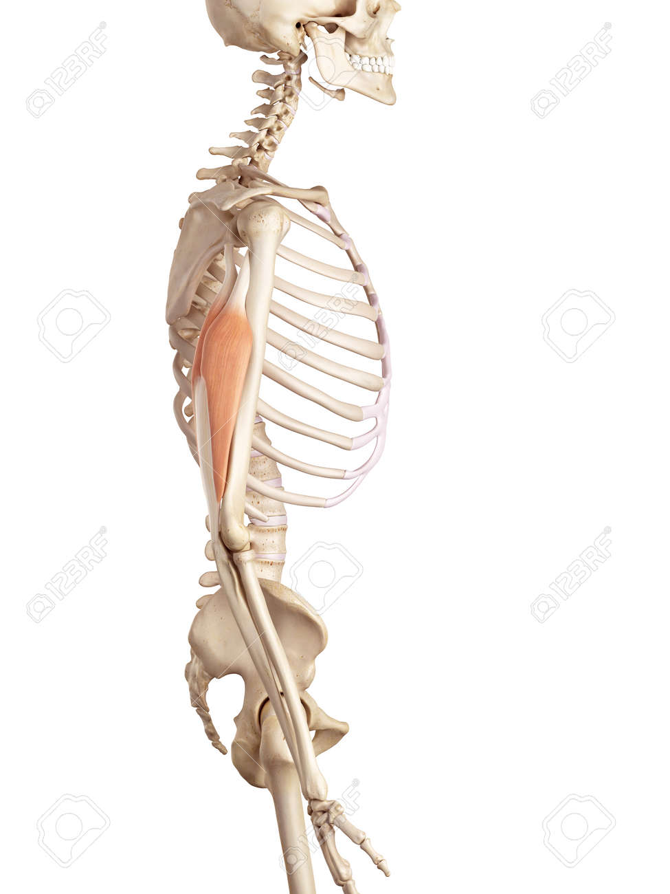 Anatomy Of The Triceps Images - human body anatomy