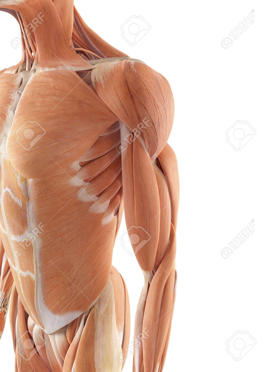Medical Accurate Illustration Of The Shoulder Muscles Stock Photo