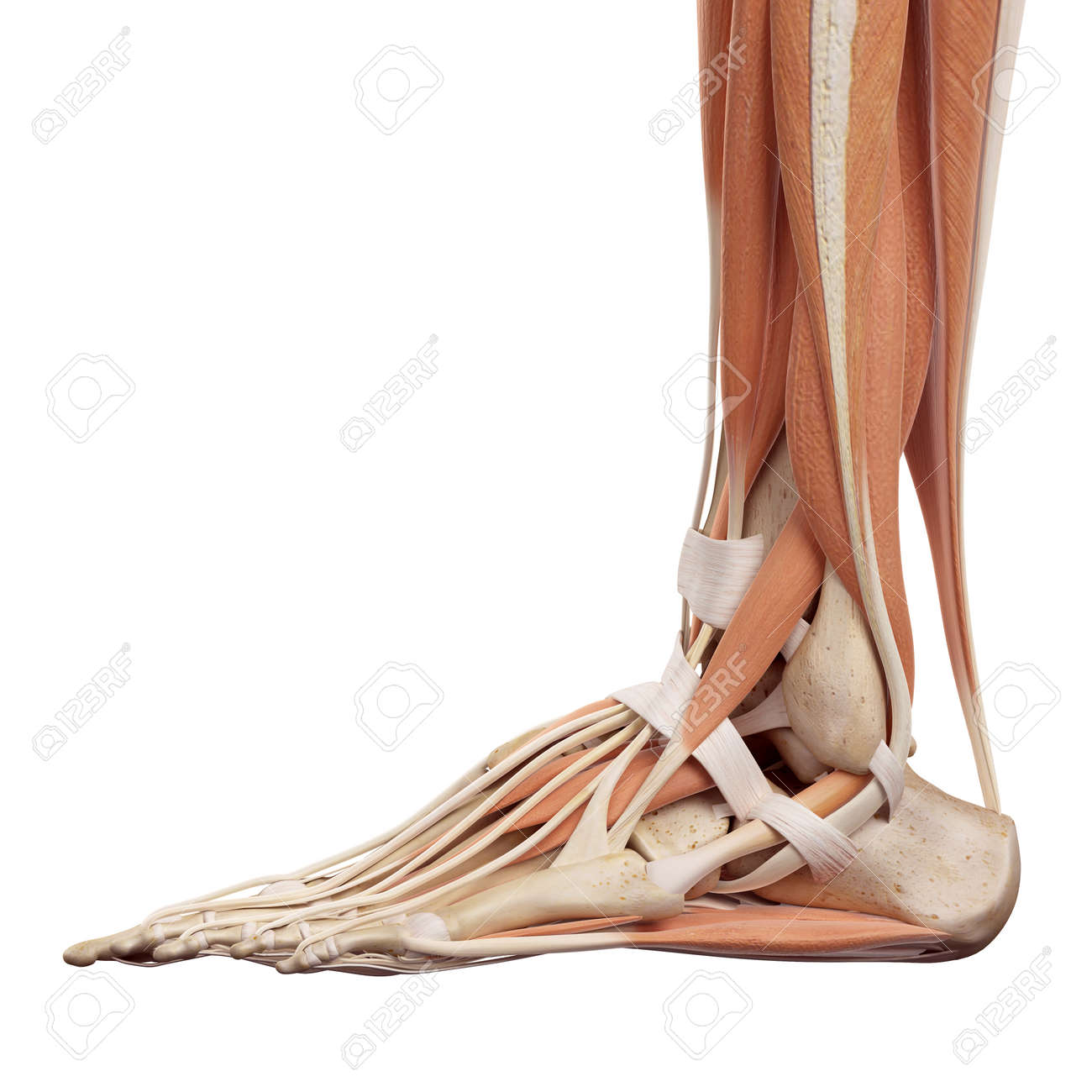 Medical Accurate Illustration Of The Foot Muscles Stock Photo ...