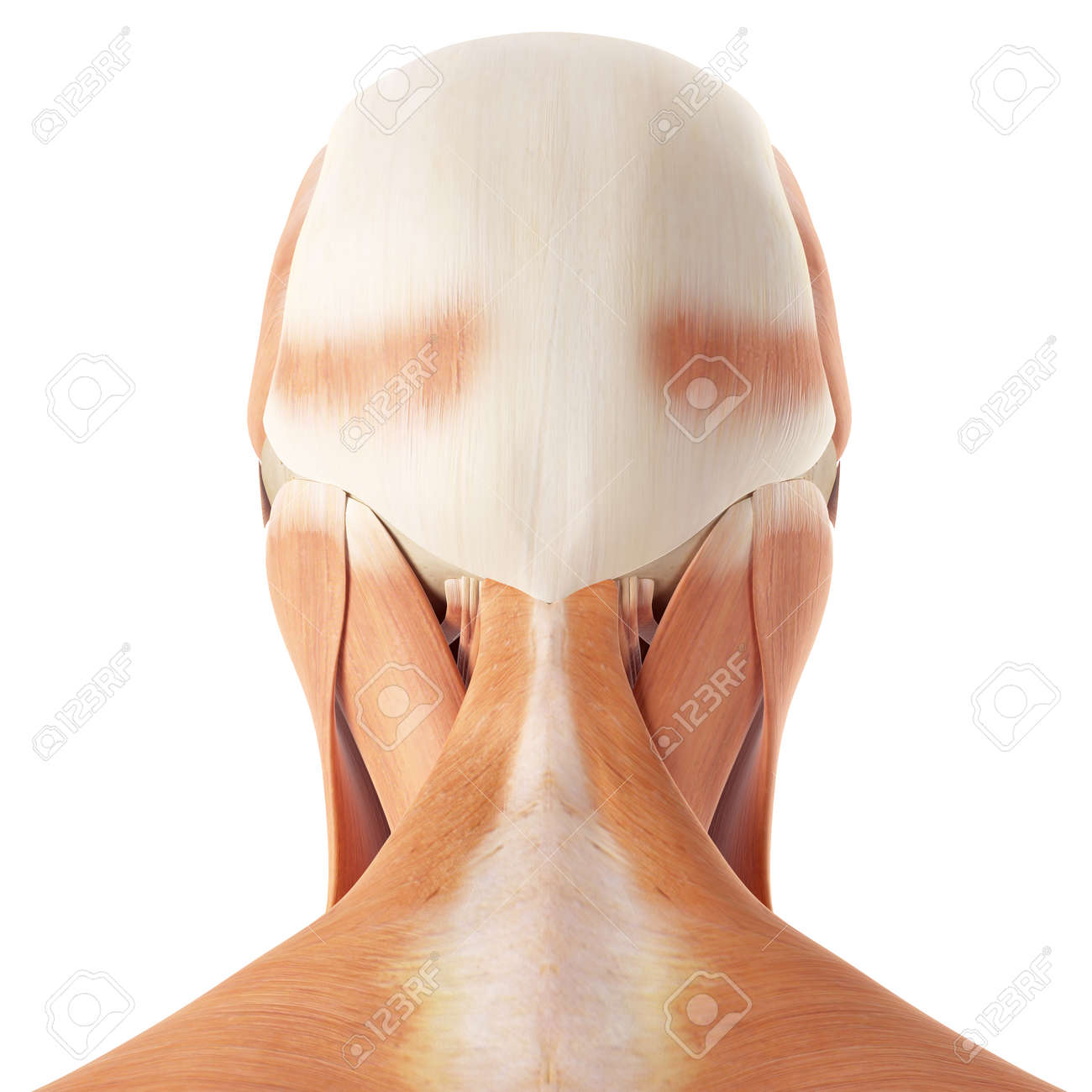 Medical Accurate Illustration Of The Neck Muscles Stock Photo